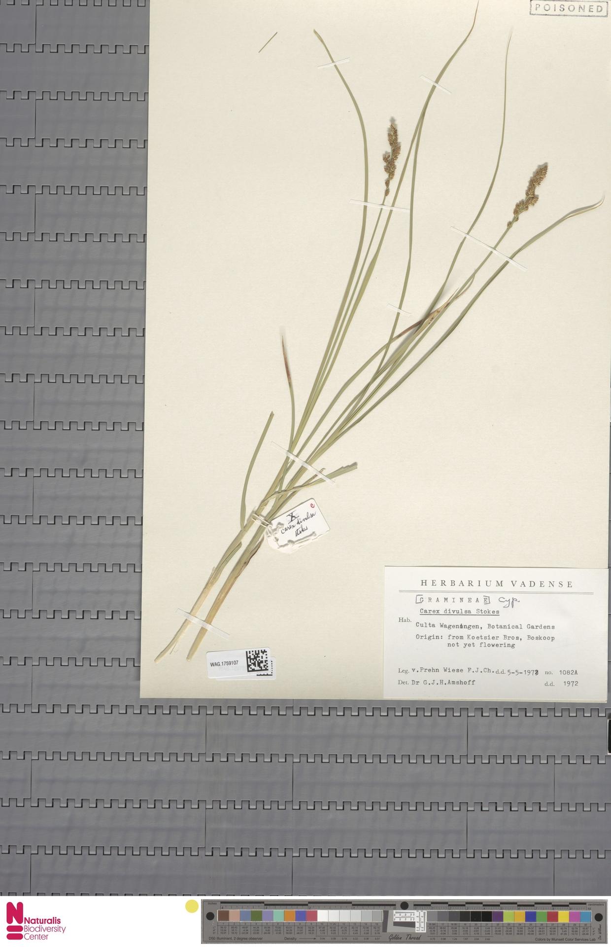WAG.1759107 | Carex divulsa Stokes