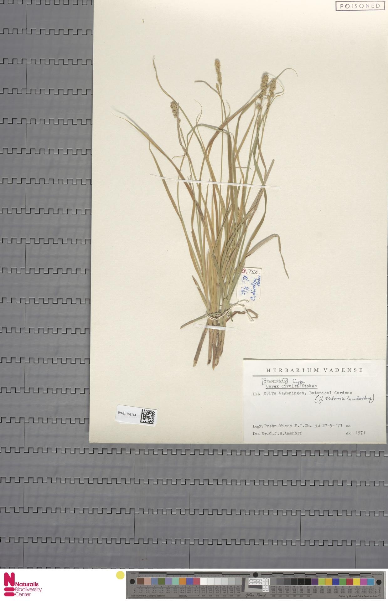 WAG.1759114 | Carex divulsa Stokes
