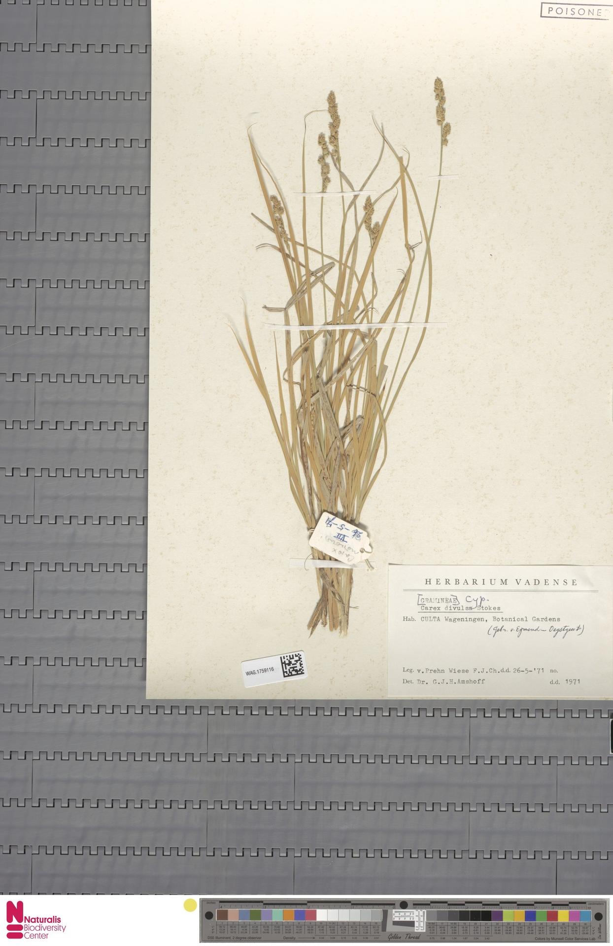 WAG.1759116   Carex divulsa Stokes