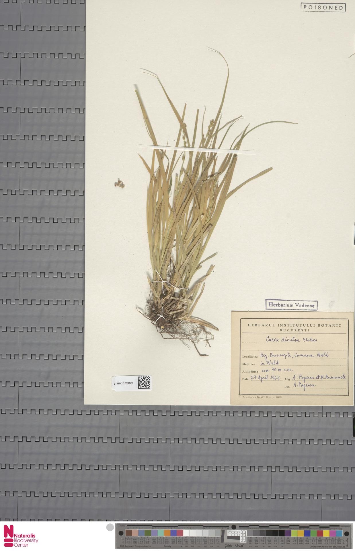 WAG.1759123   Carex divulsa Stokes