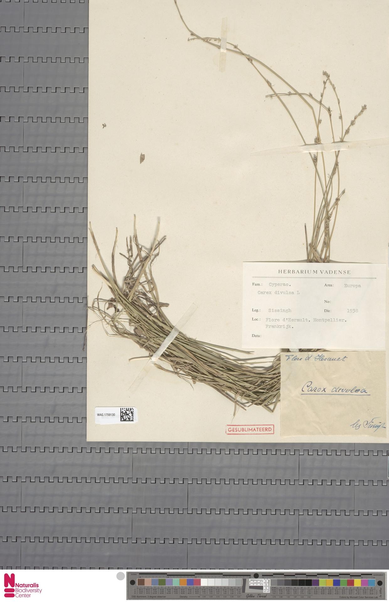 WAG.1759130 | Carex divulsa Stokes