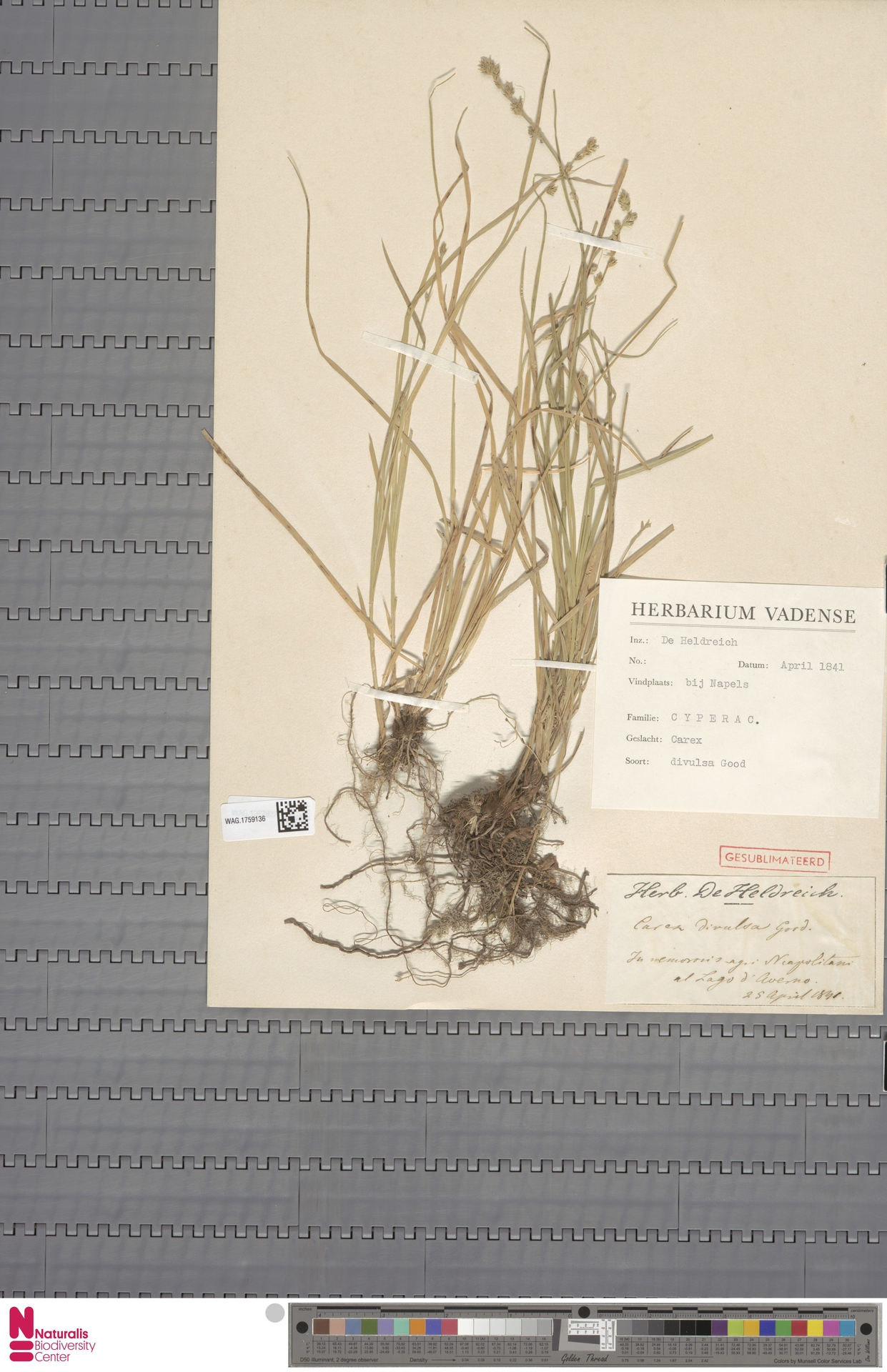 WAG.1759136 | Carex divulsa Stokes