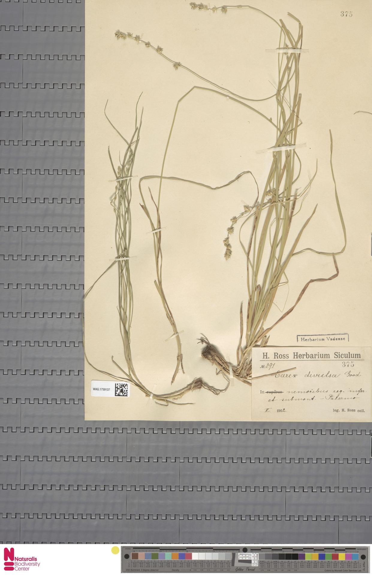 WAG.1759137 | Carex divulsa Stokes