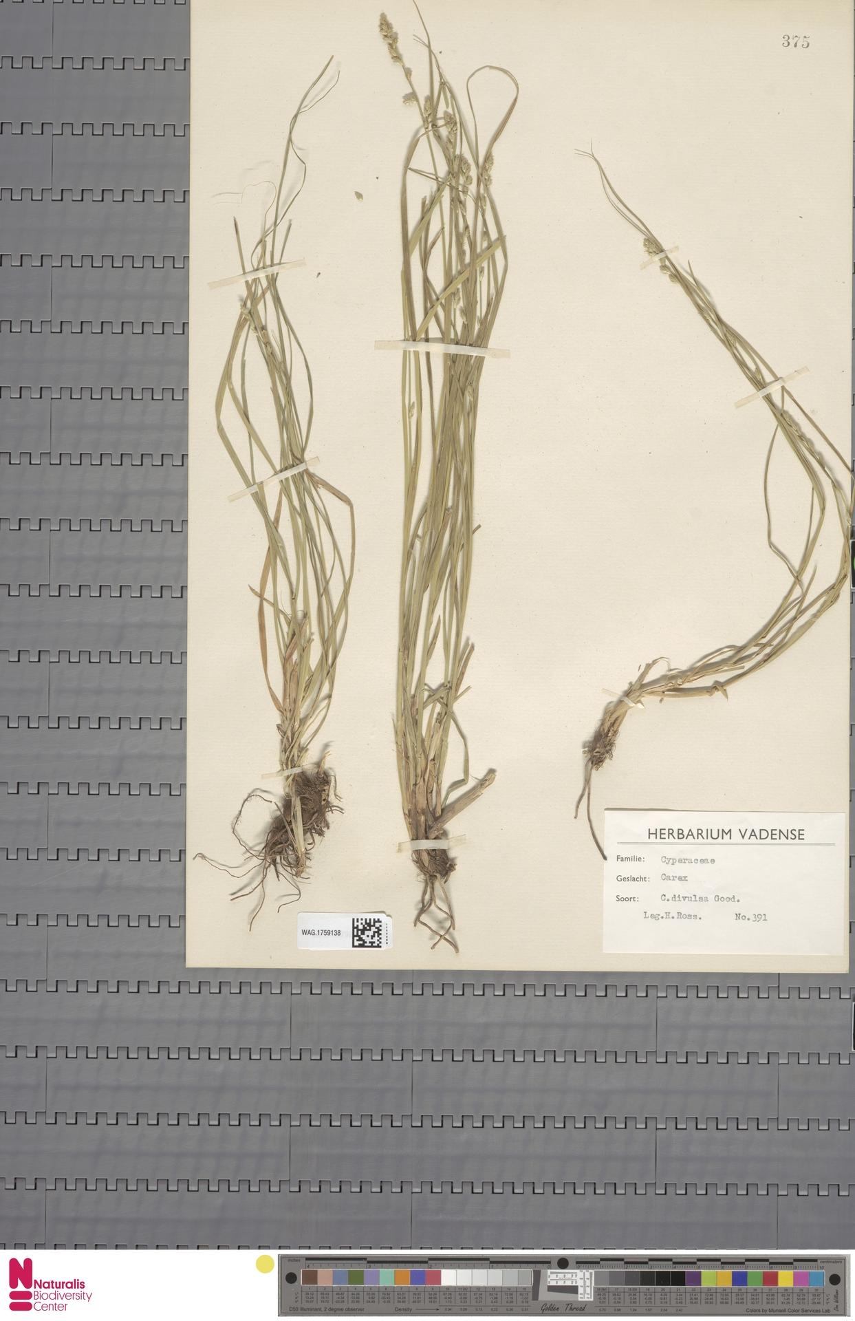 WAG.1759138 | Carex divulsa Stokes
