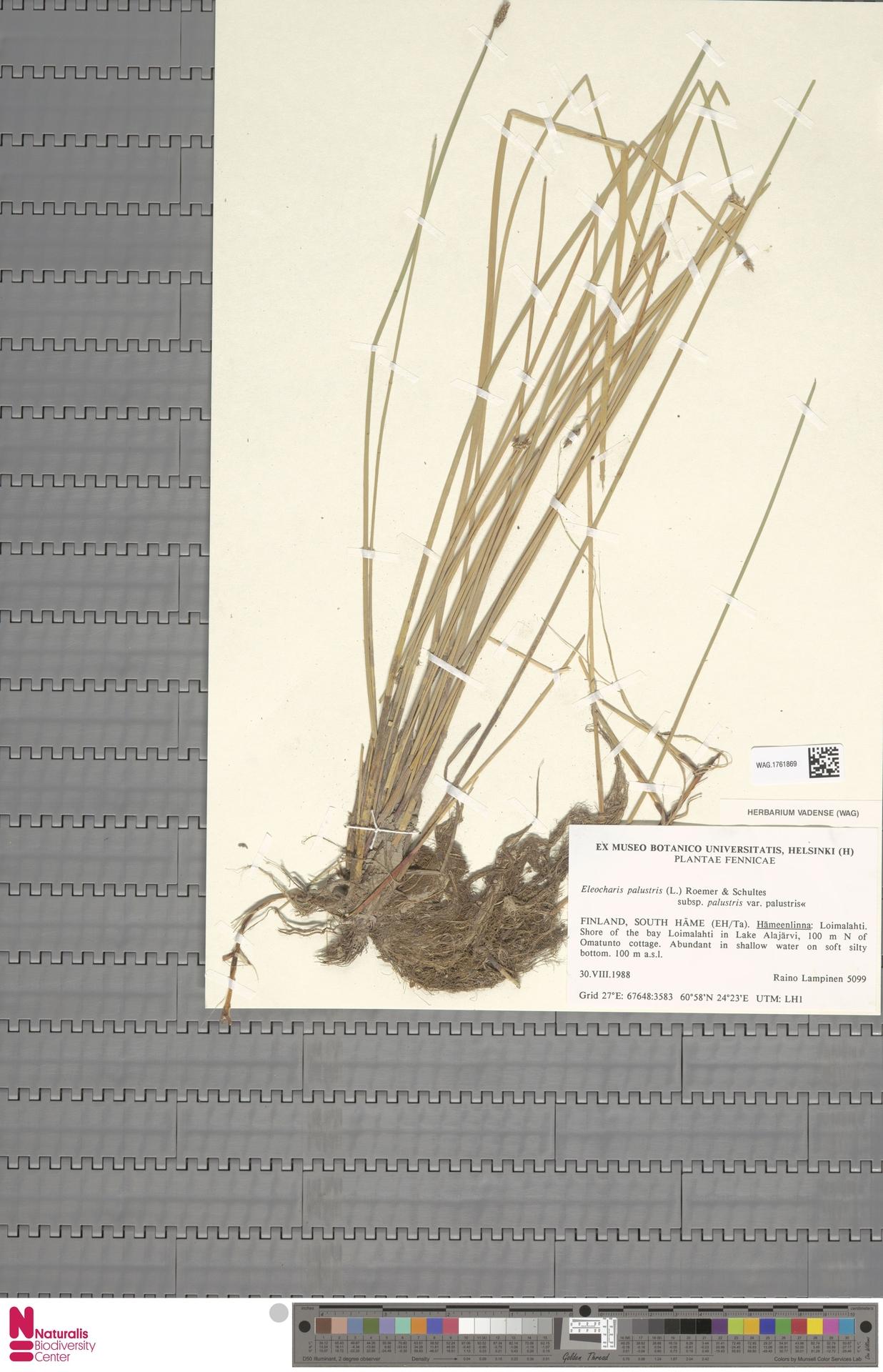 WAG.1761869   Eleocharis palustris subsp. palustris