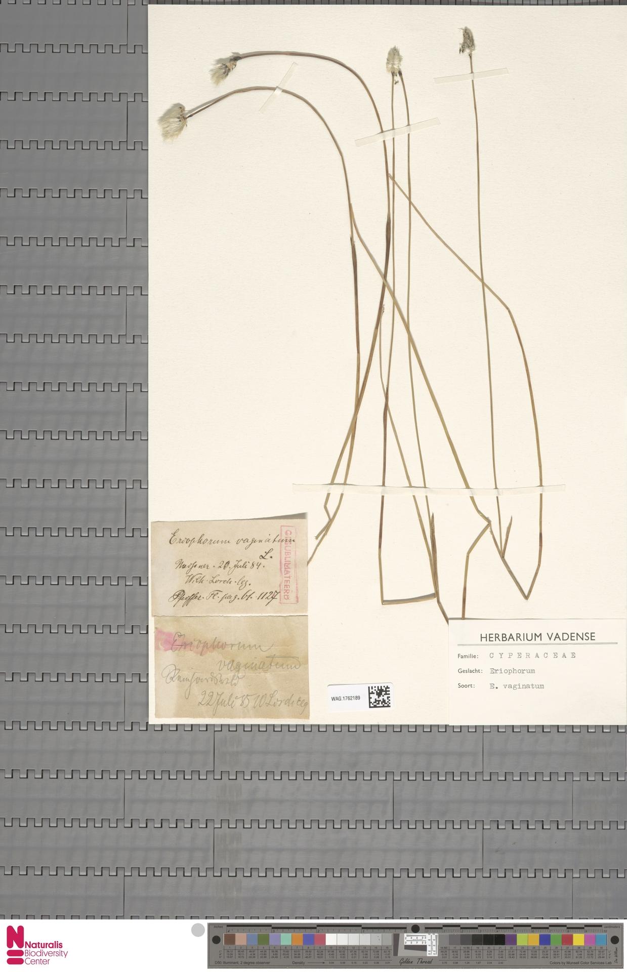 WAG.1762189   Eriophorum vaginatum L.