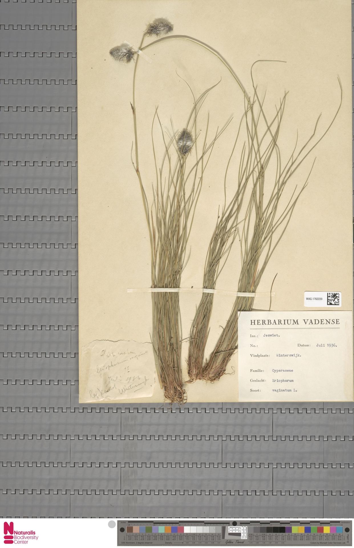 WAG.1762220 | Eriophorum vaginatum L.