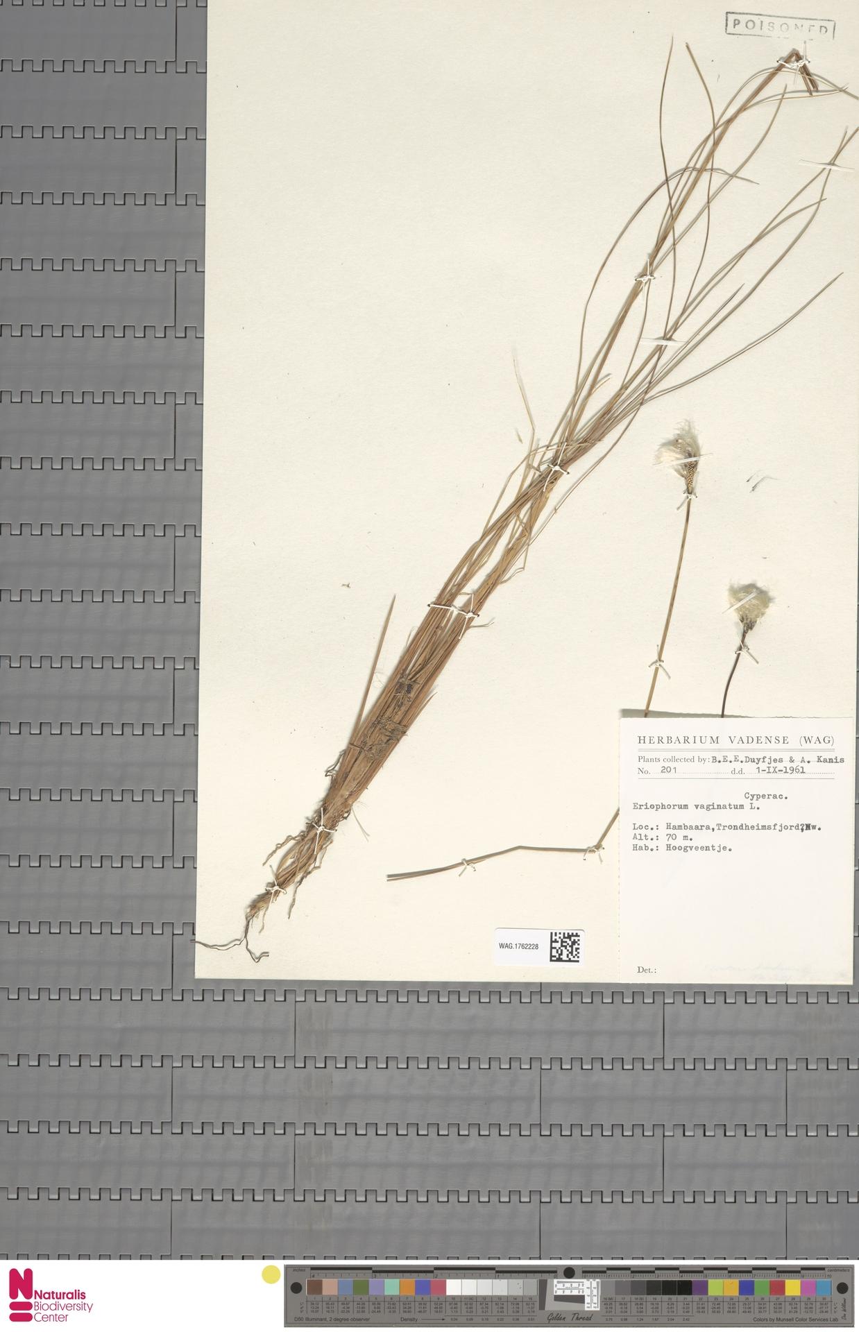 WAG.1762228 | Eriophorum vaginatum L.