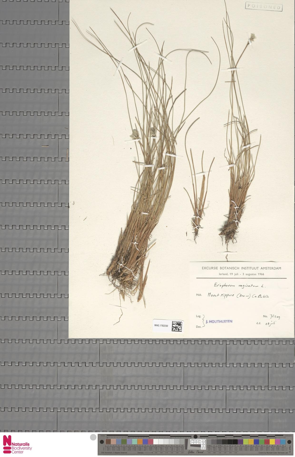 WAG.1762230 | Eriophorum vaginatum L.
