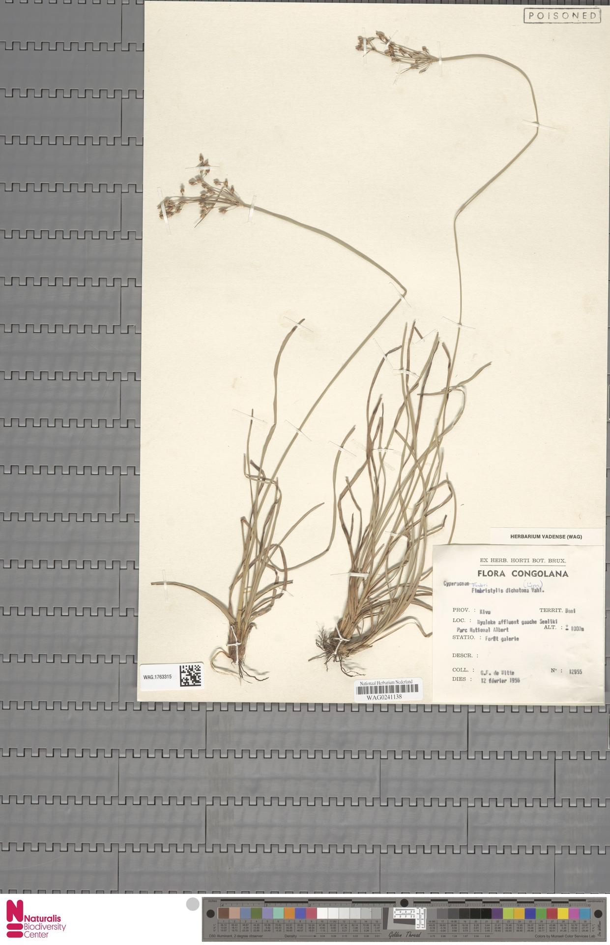 WAG.1763315 | Fimbristylis dichotoma (L.) Vahl