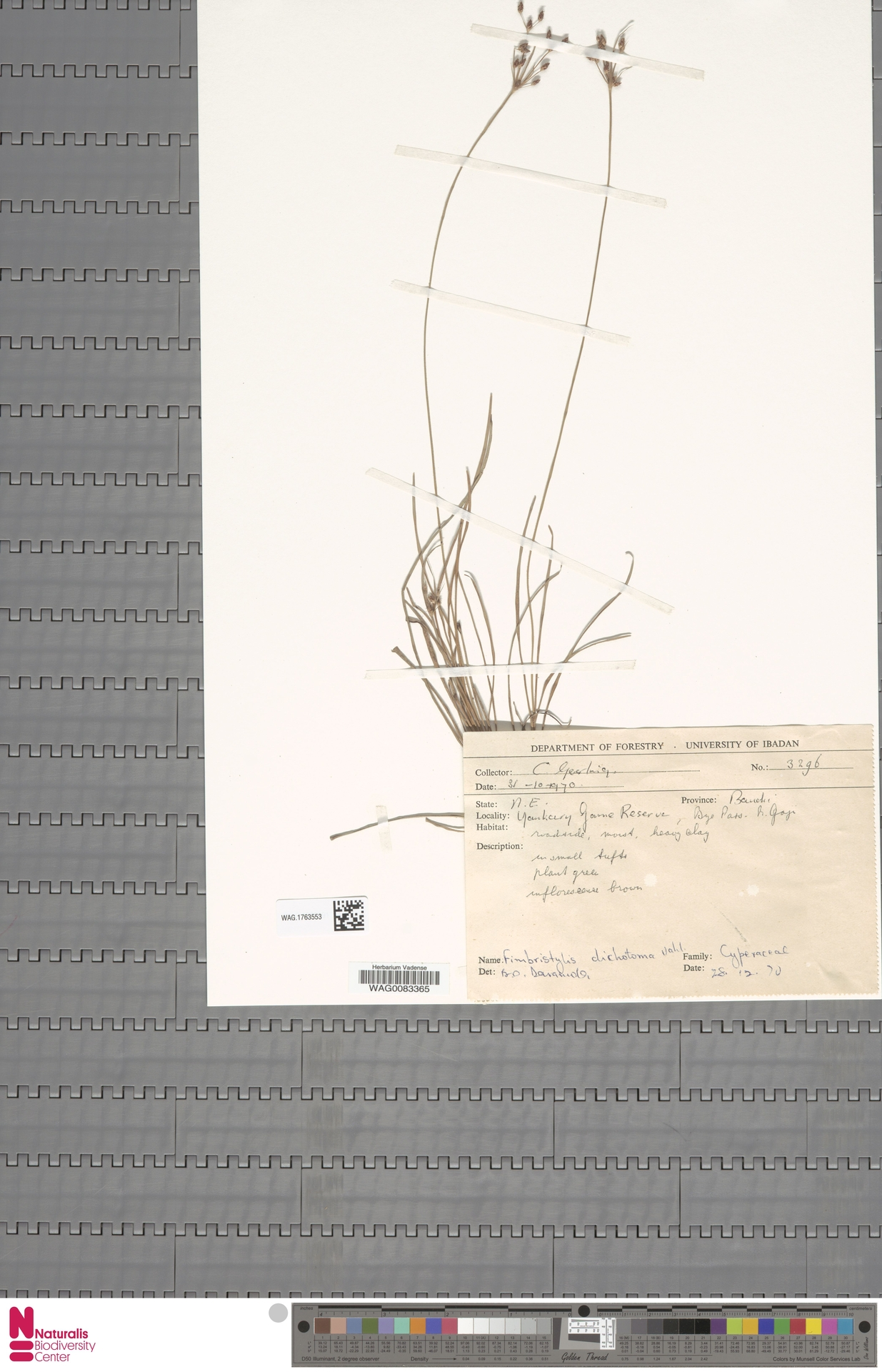 WAG.1763553   Fimbristylis dichotoma (L.) Vahl
