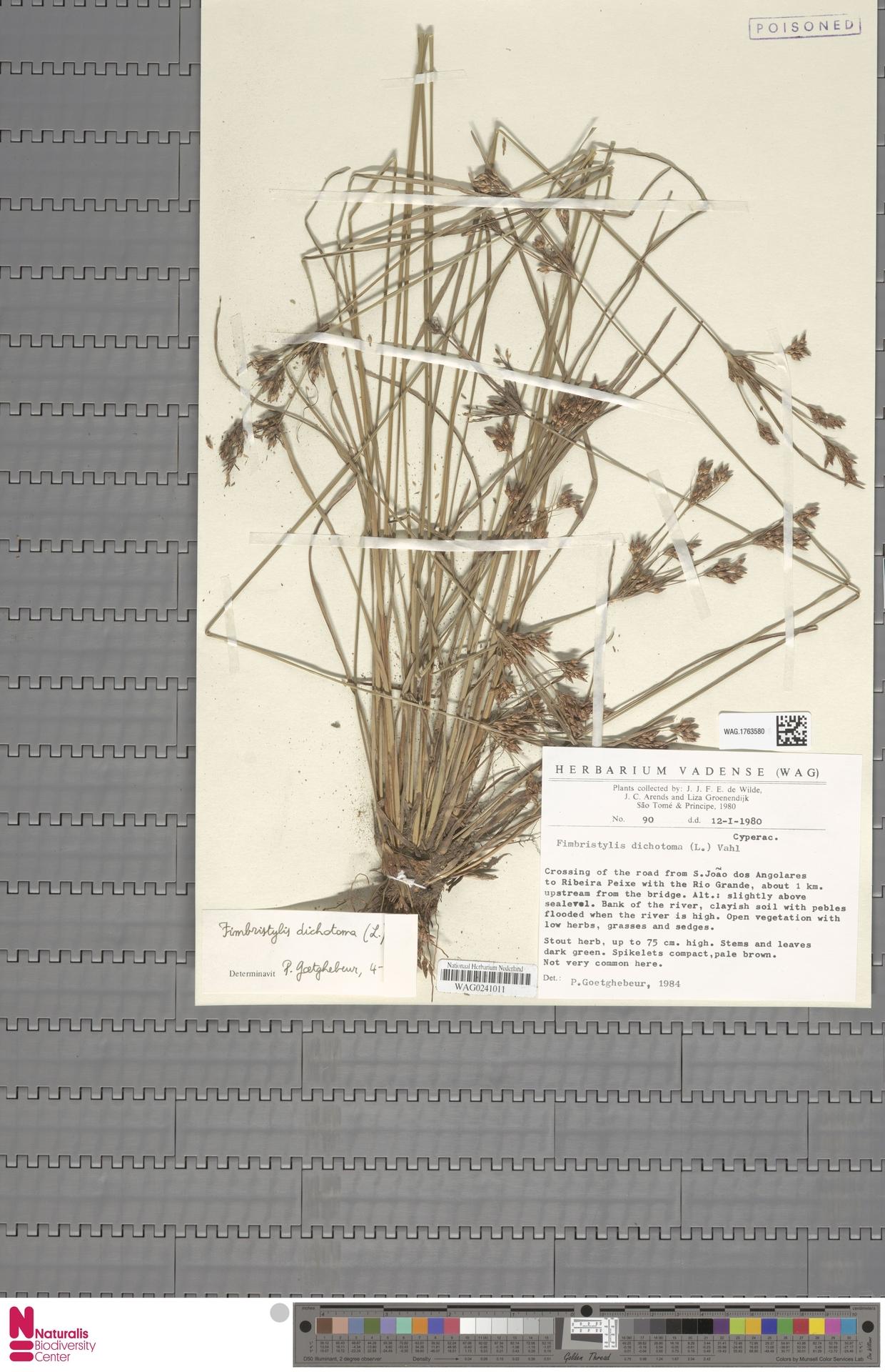 WAG.1763580   Fimbristylis dichotoma (L.) Vahl