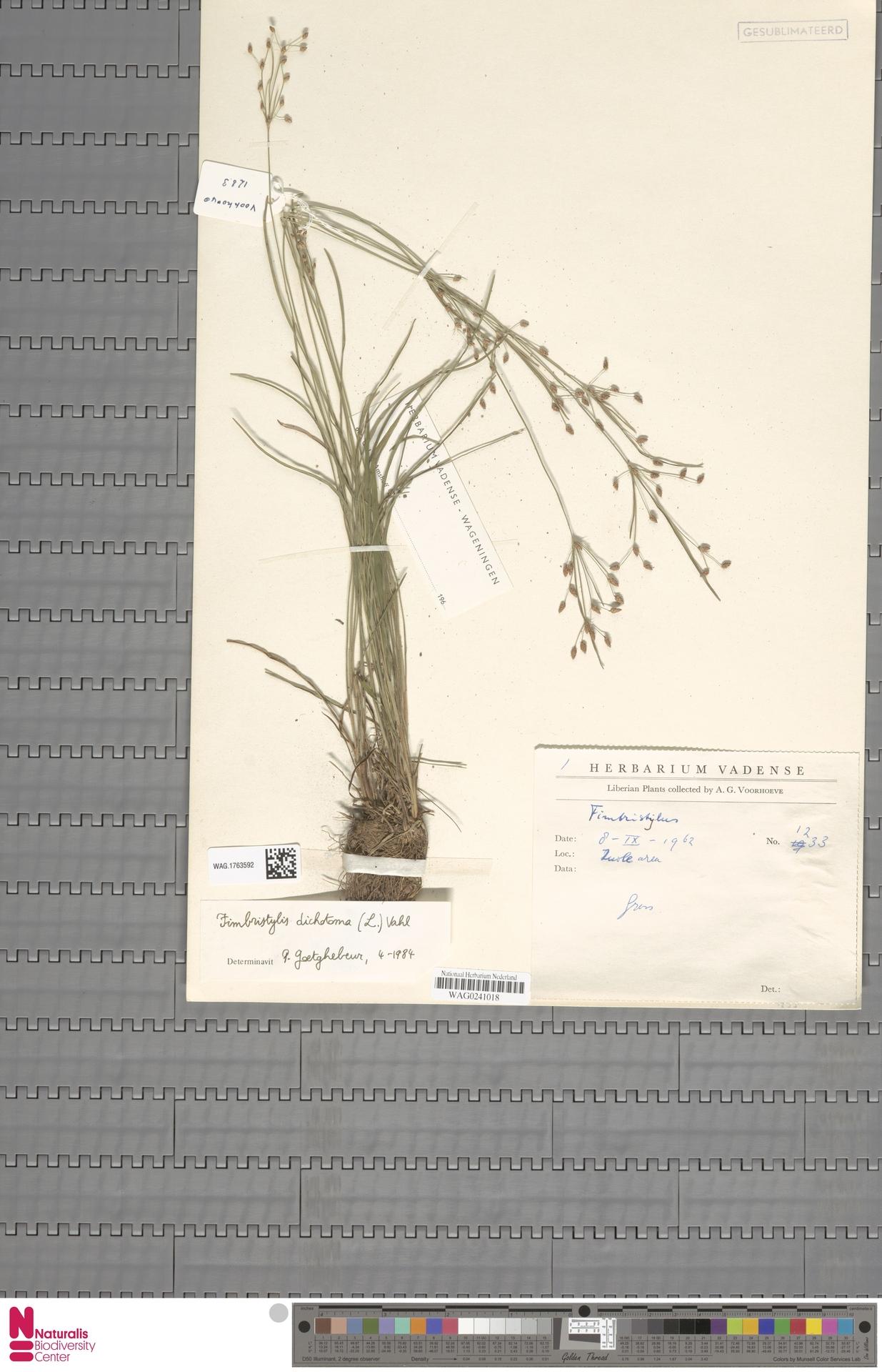 WAG.1763592   Fimbristylis dichotoma (L.) Vahl