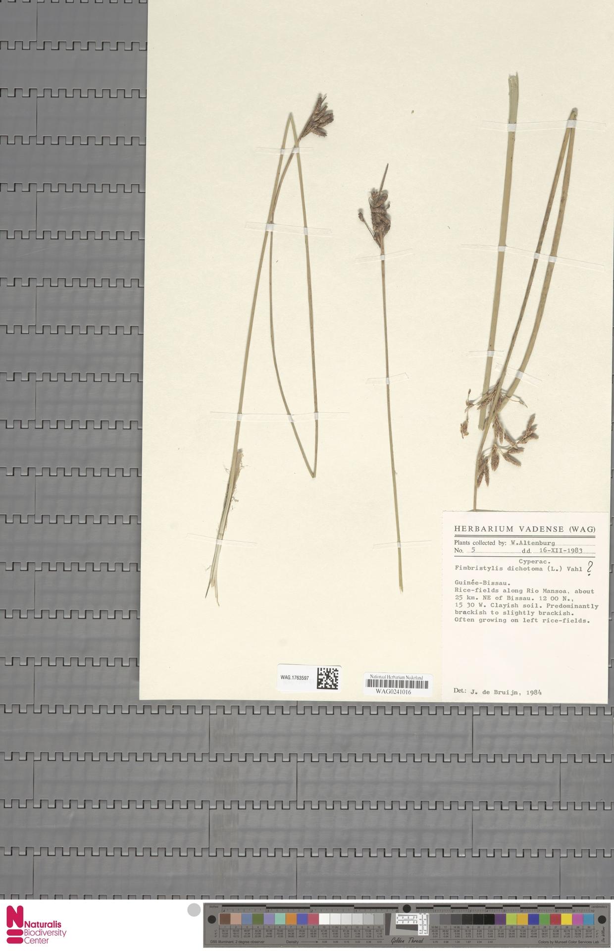 WAG.1763597   Fimbristylis dichotoma (L.) Vahl
