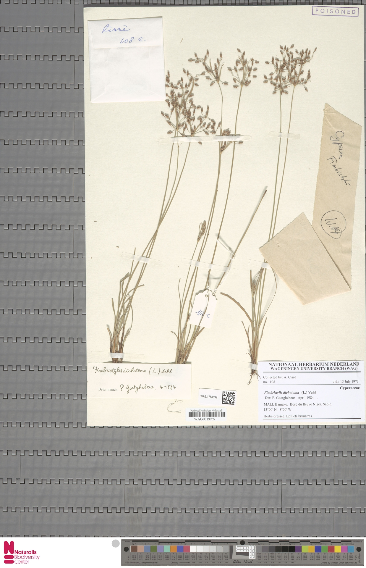 WAG.1763599 | Fimbristylis dichotoma (L.) Vahl