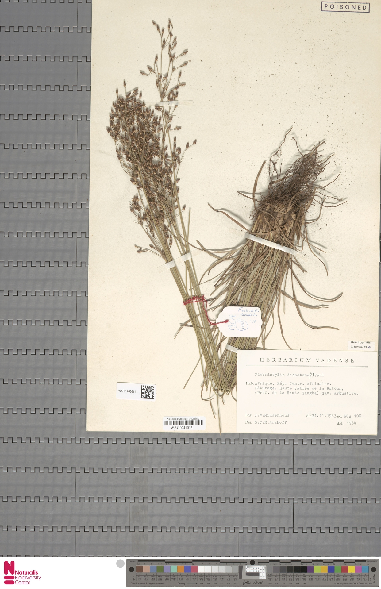 WAG.1763611 | Fimbristylis dichotoma (L.) Vahl