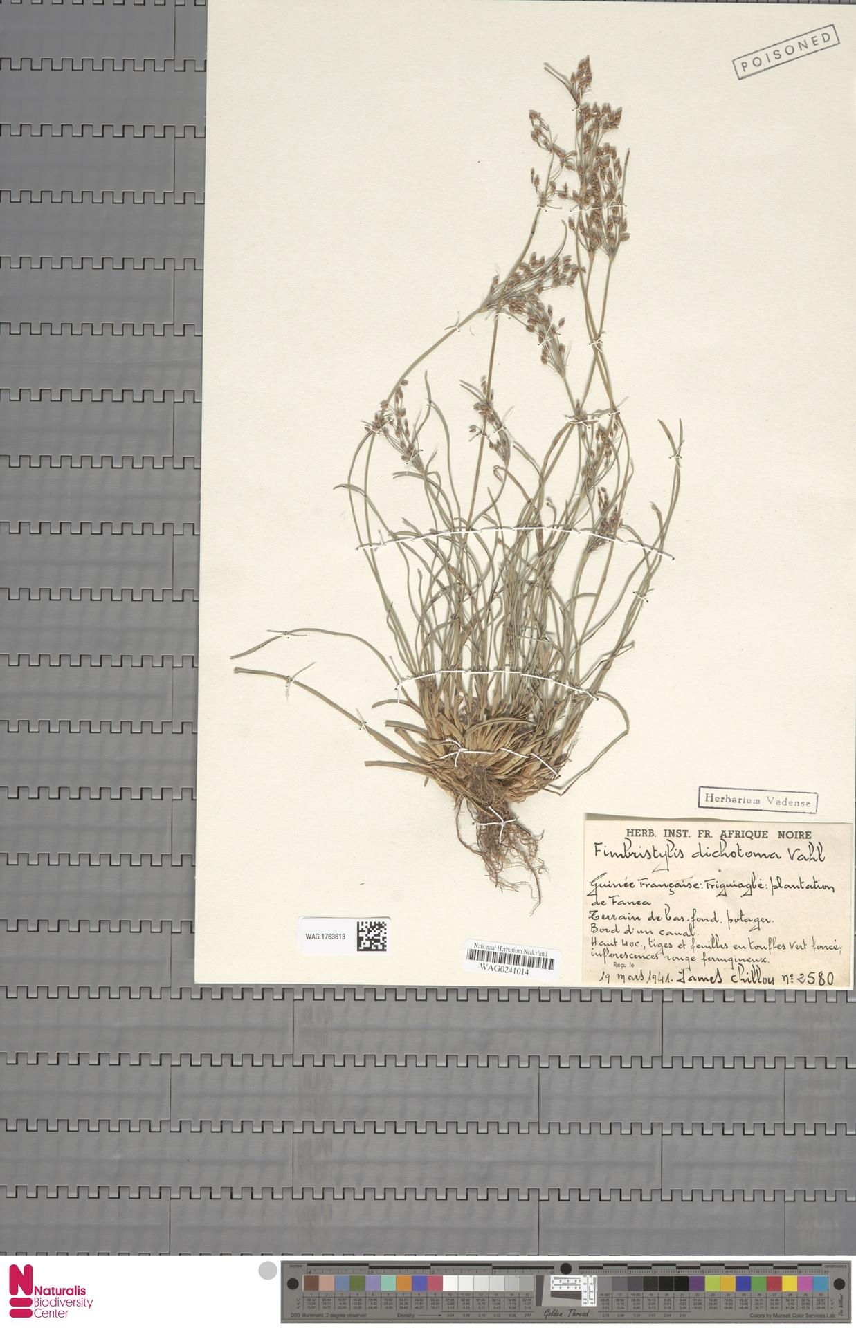 WAG.1763613 | Fimbristylis dichotoma (L.) Vahl