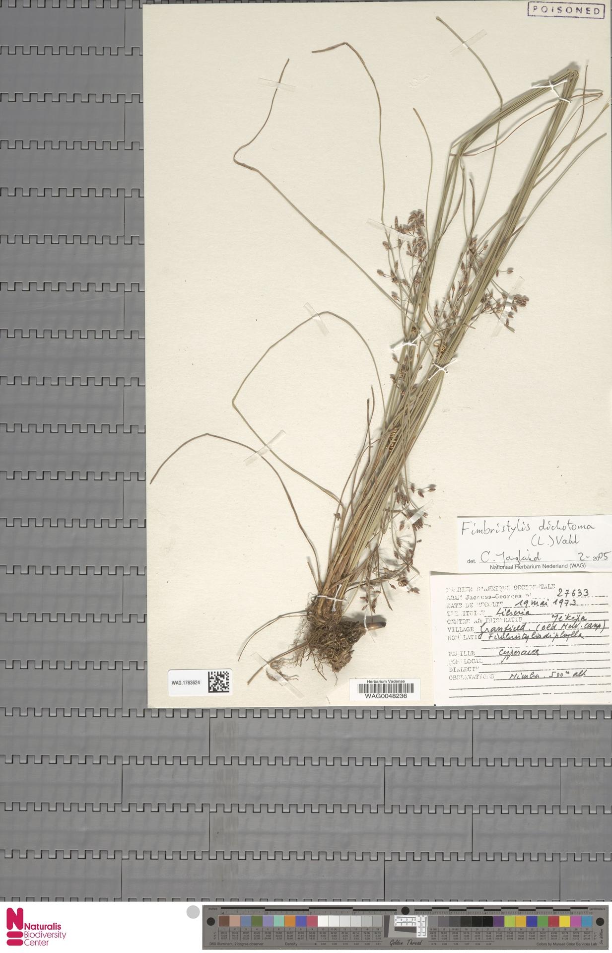 WAG.1763624 | Fimbristylis dichotoma (L.) Vahl