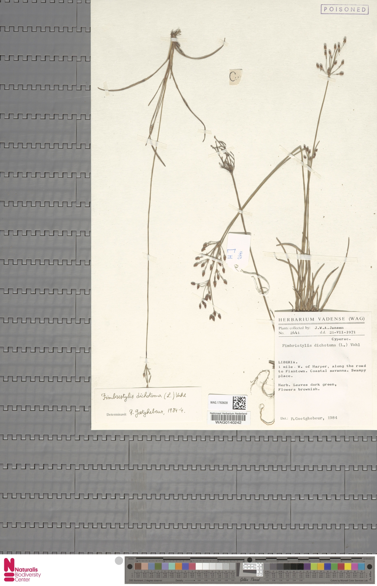 WAG.1763628 | Fimbristylis dichotoma (L.) Vahl