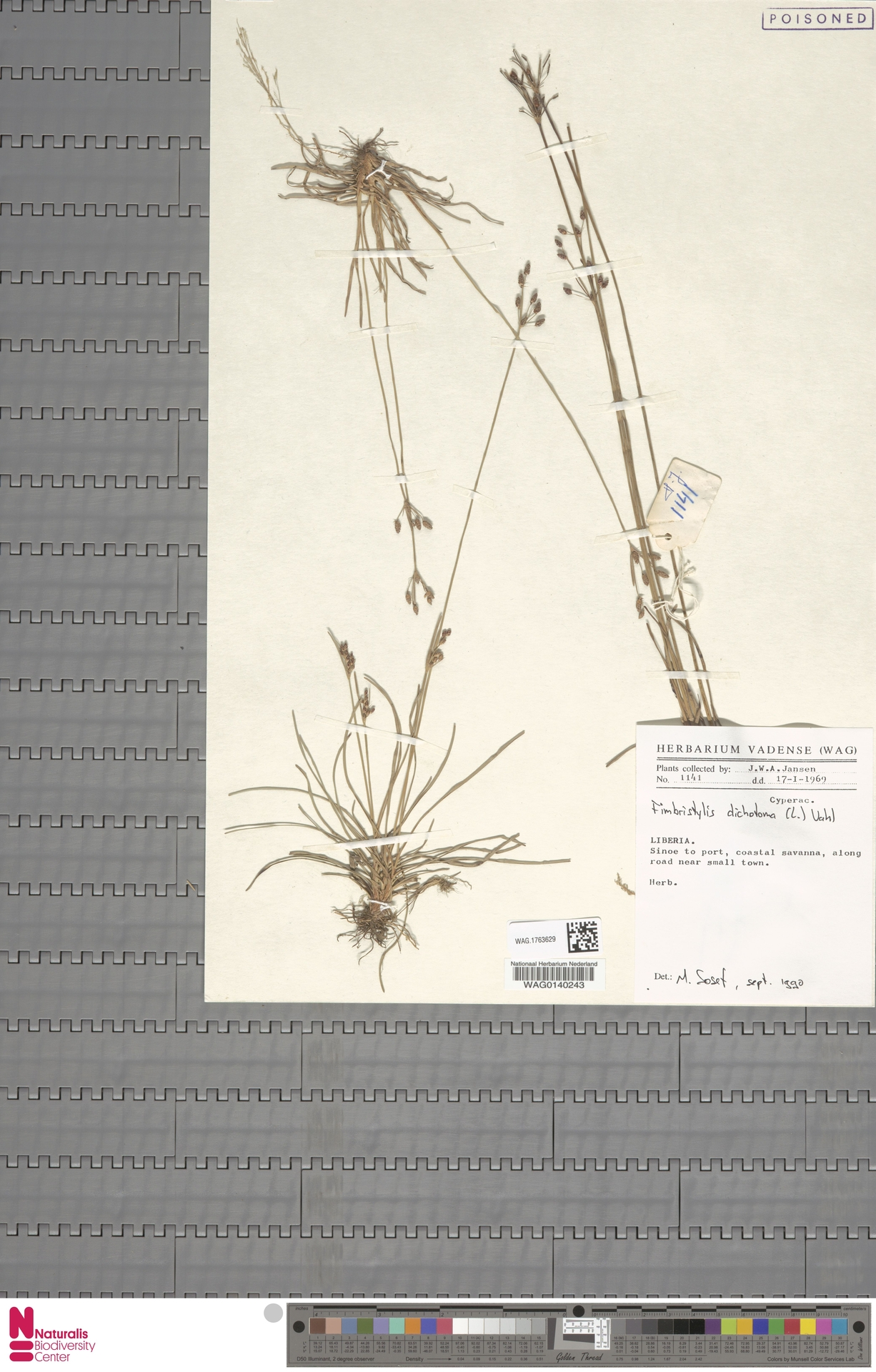 WAG.1763629 | Fimbristylis dichotoma (L.) Vahl