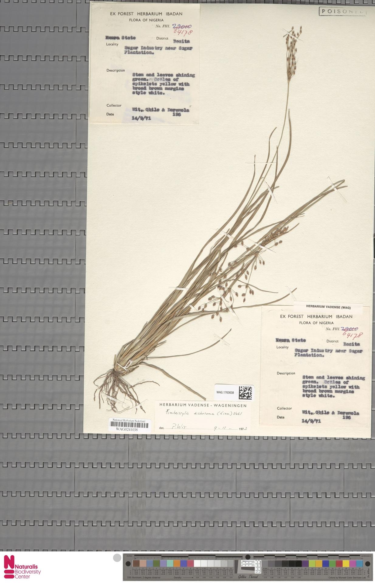 WAG.1763638 | Fimbristylis dichotoma (L.) Vahl