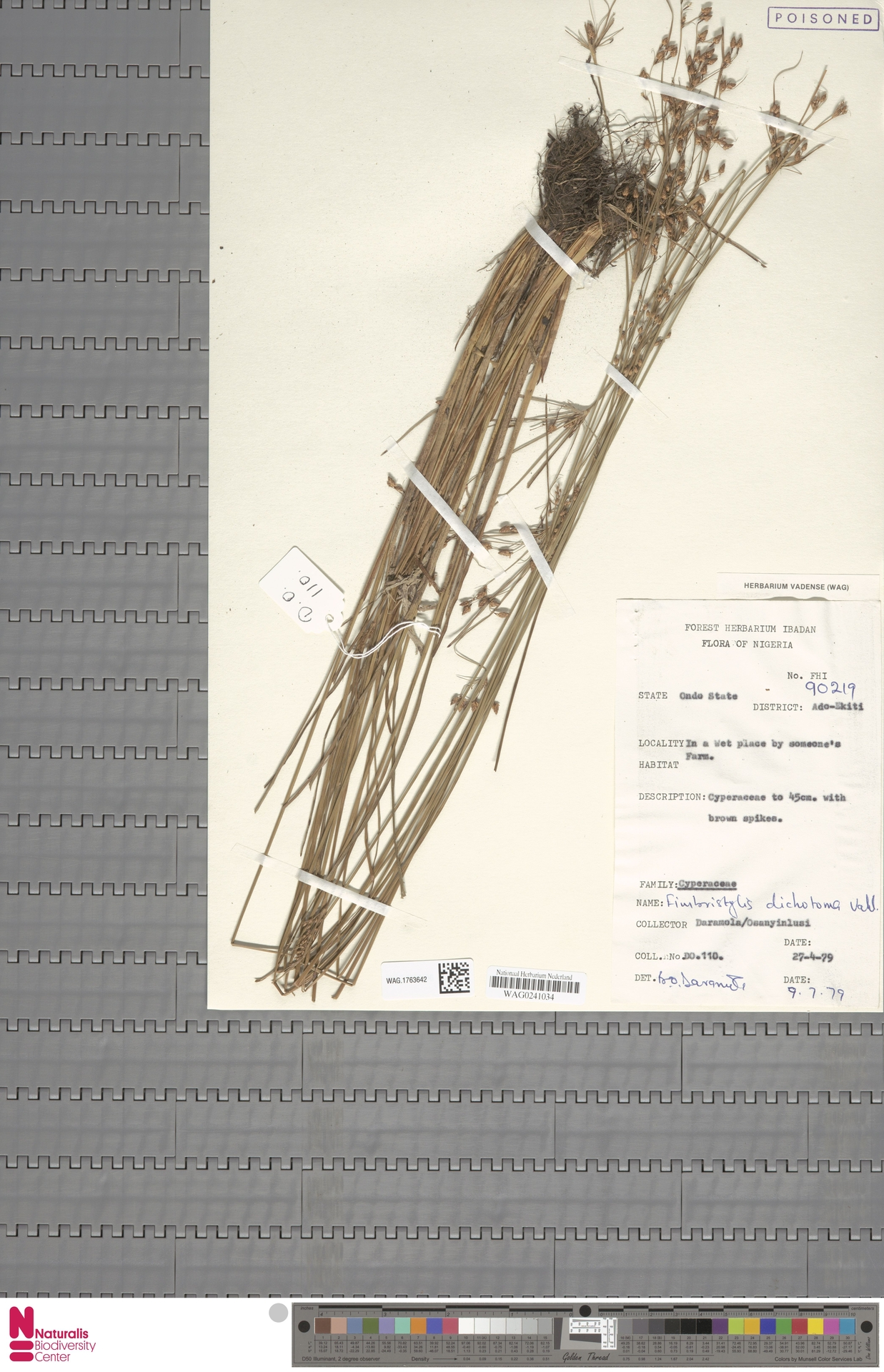 WAG.1763642 | Fimbristylis dichotoma (L.) Vahl
