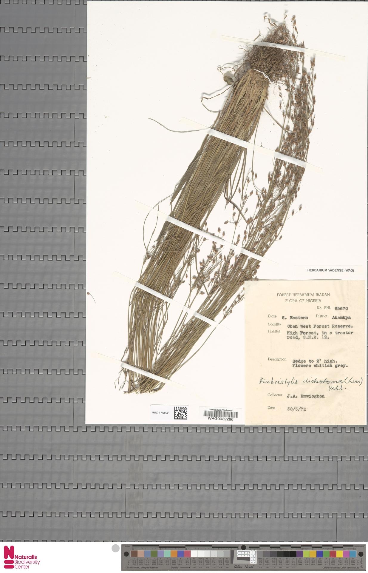 WAG.1763643 | Fimbristylis dichotoma (L.) Vahl