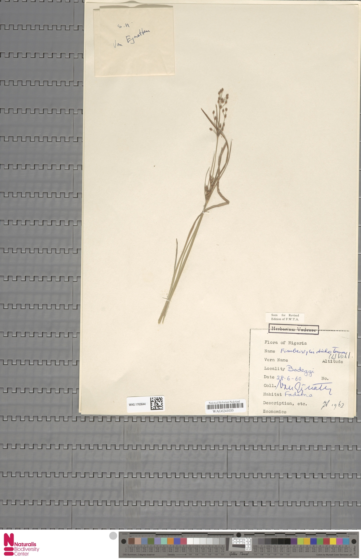 WAG.1763644 | Fimbristylis dichotoma (L.) Vahl