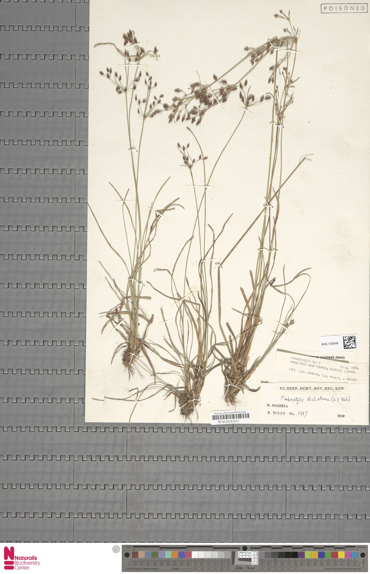 WAG.1763646 | Fimbristylis dichotoma (L.) Vahl