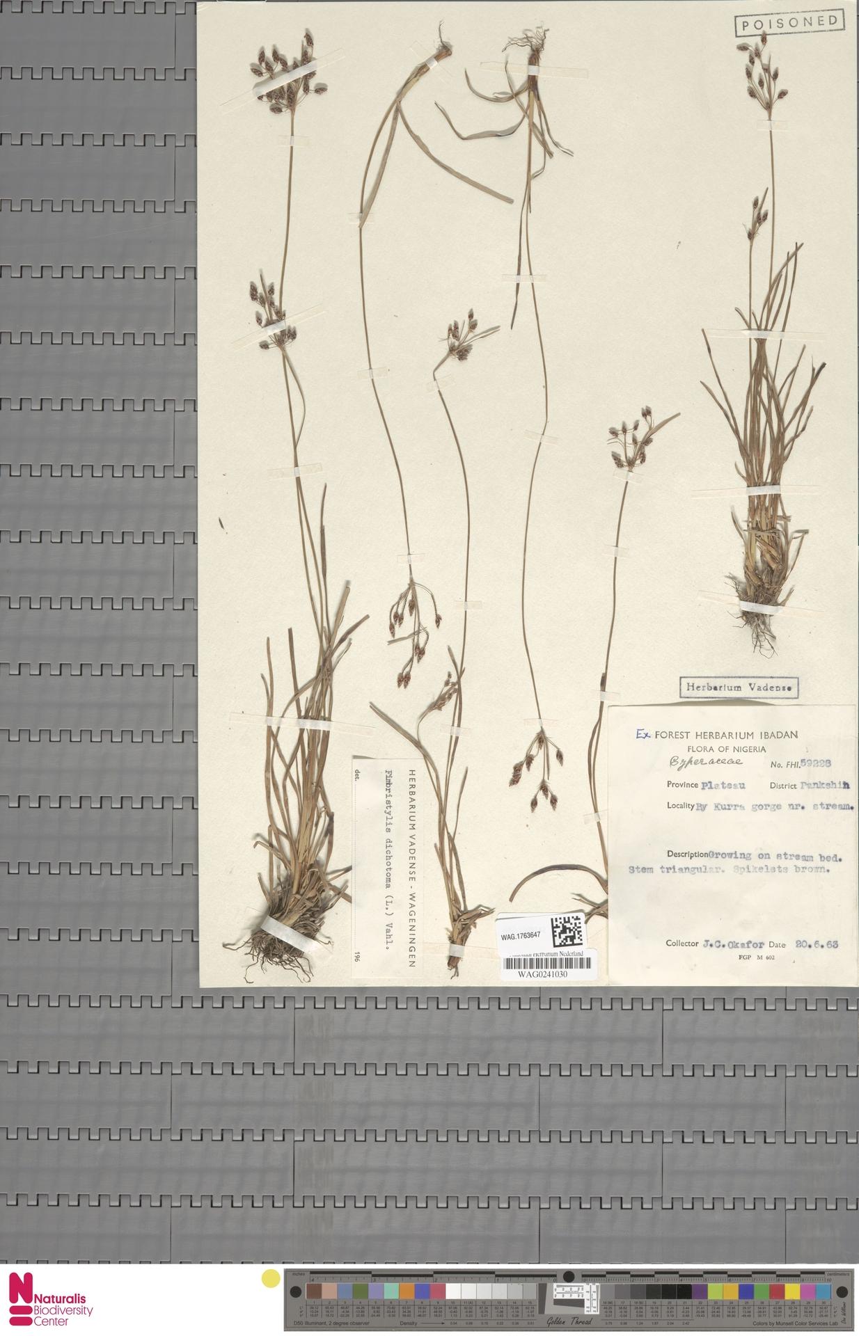 WAG.1763647 | Fimbristylis dichotoma (L.) Vahl