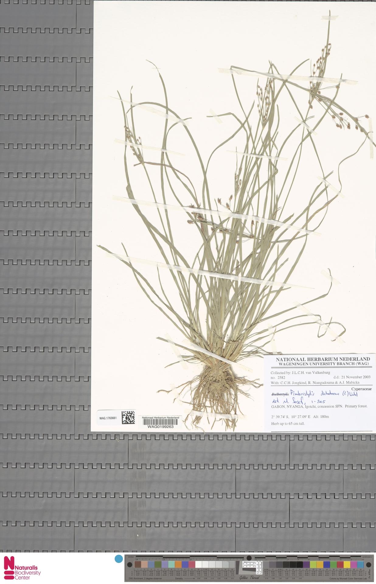WAG.1763661 | Fimbristylis dichotoma (L.) Vahl