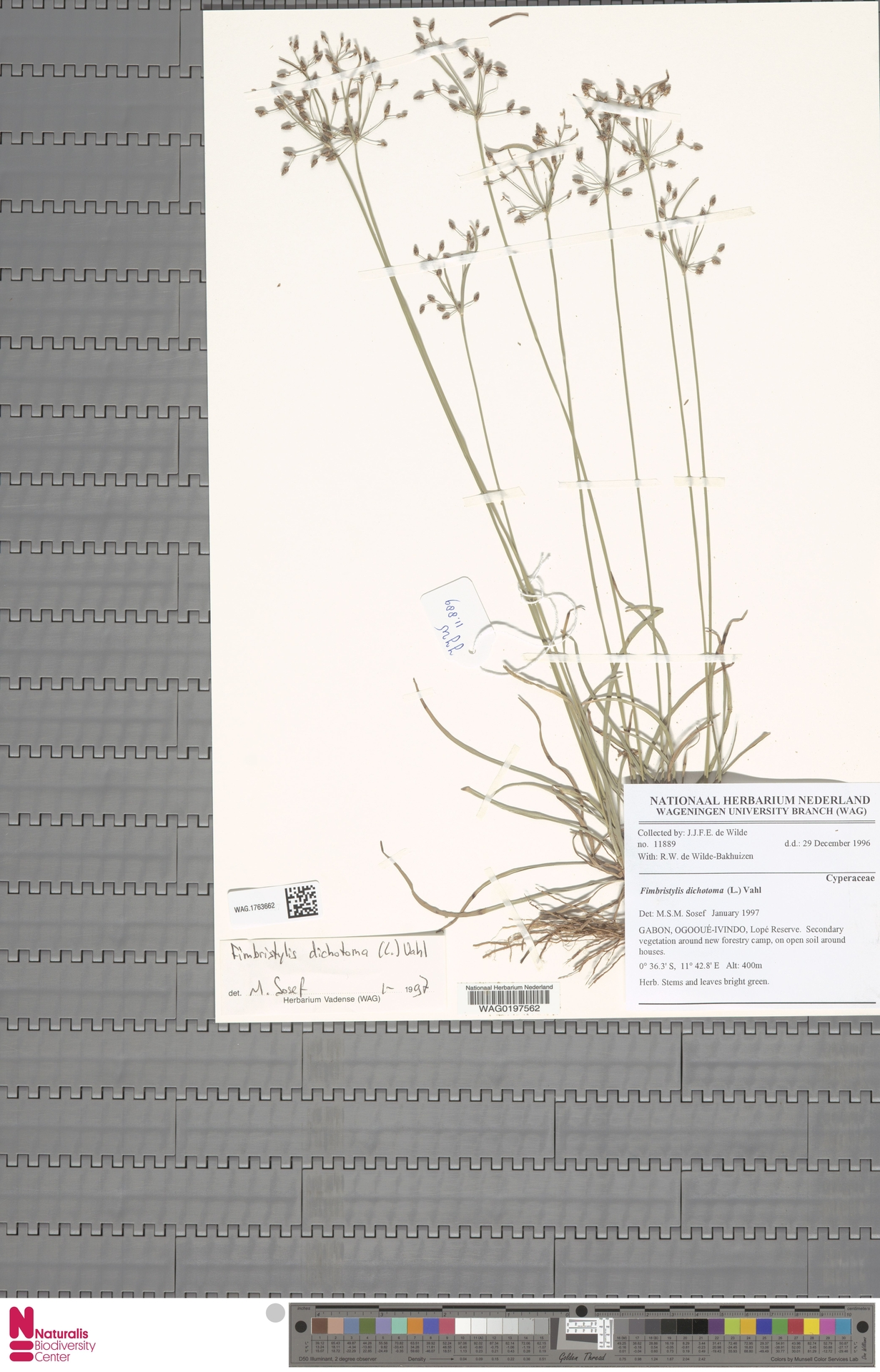 WAG.1763662 | Fimbristylis dichotoma (L.) Vahl