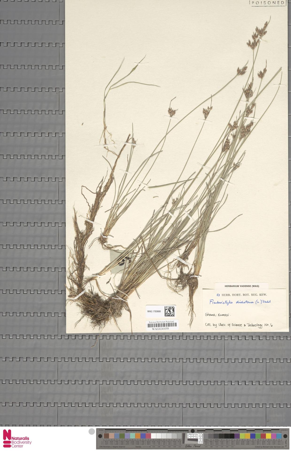 WAG.1763666 | Fimbristylis dichotoma (L.) Vahl