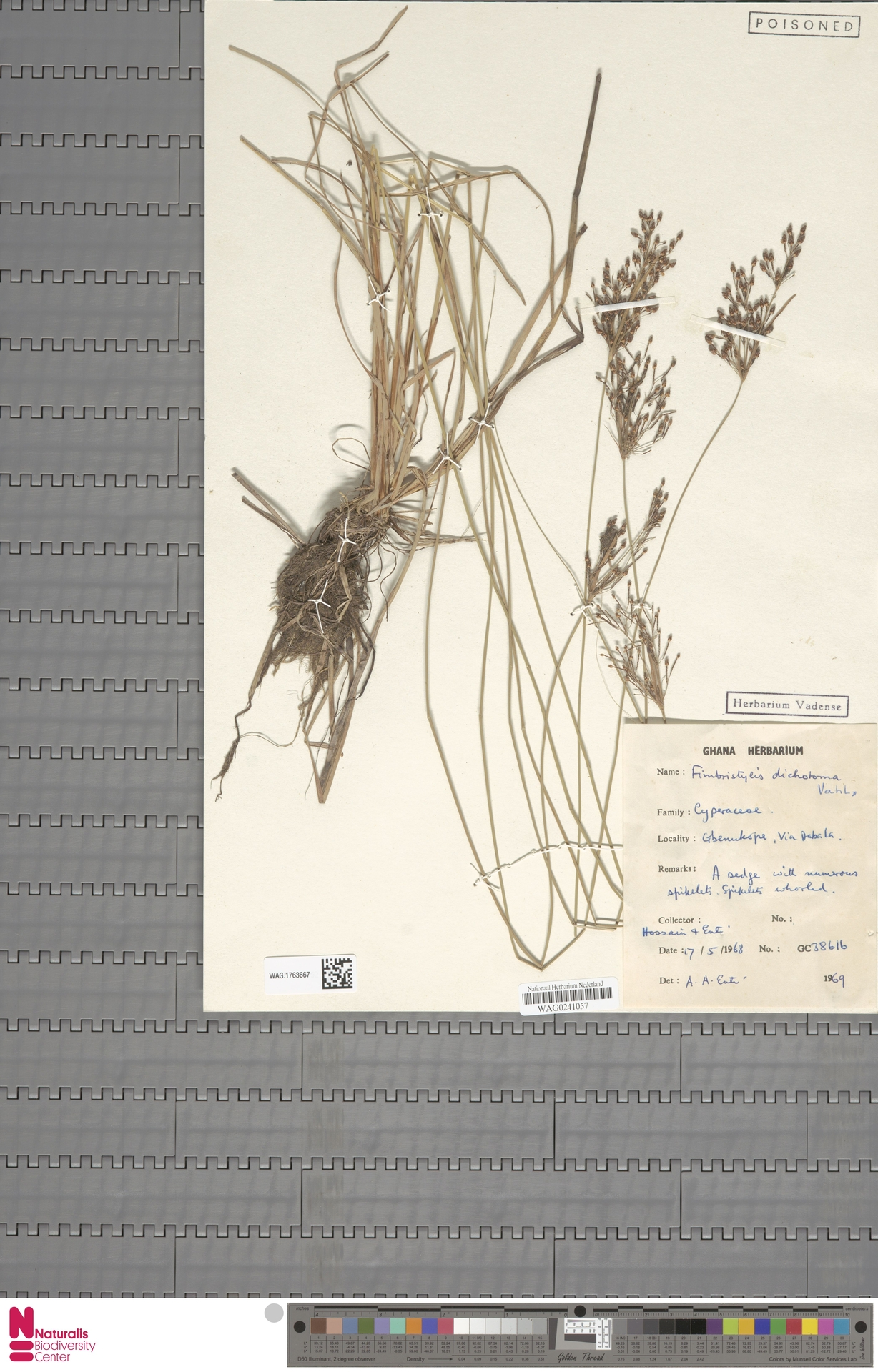 WAG.1763667 | Fimbristylis dichotoma (L.) Vahl