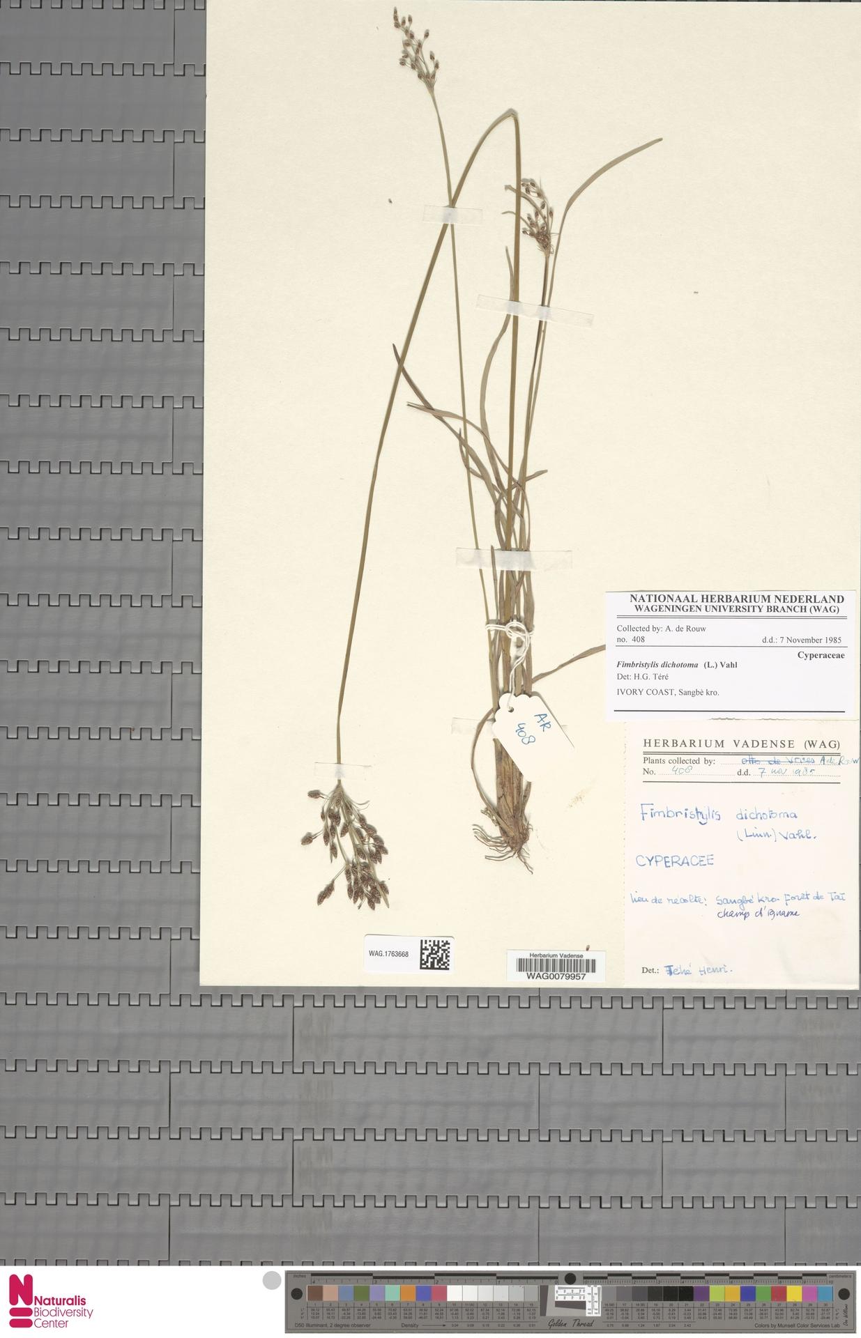 WAG.1763668 | Fimbristylis dichotoma (L.) Vahl