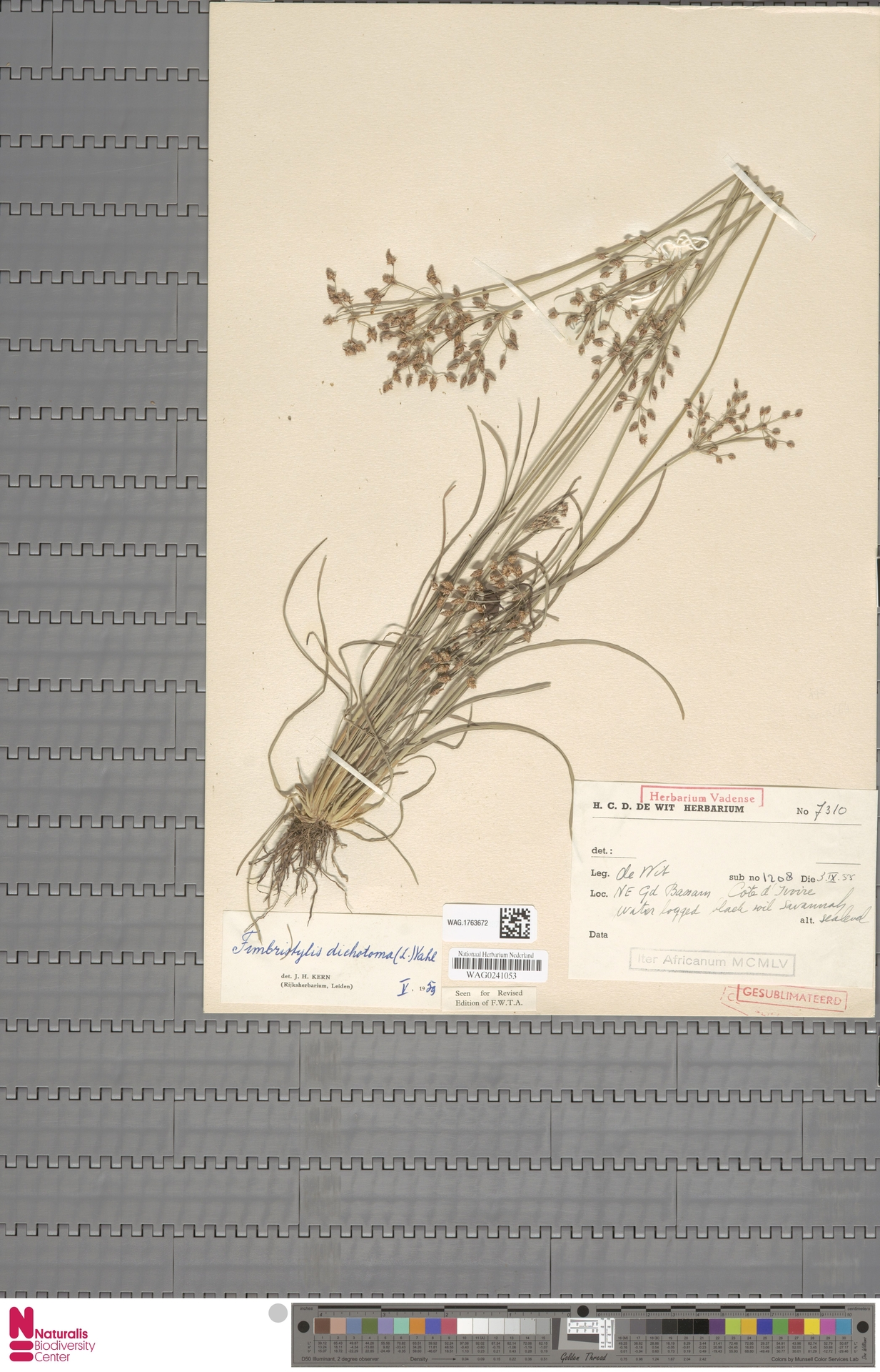 WAG.1763672 | Fimbristylis dichotoma (L.) Vahl