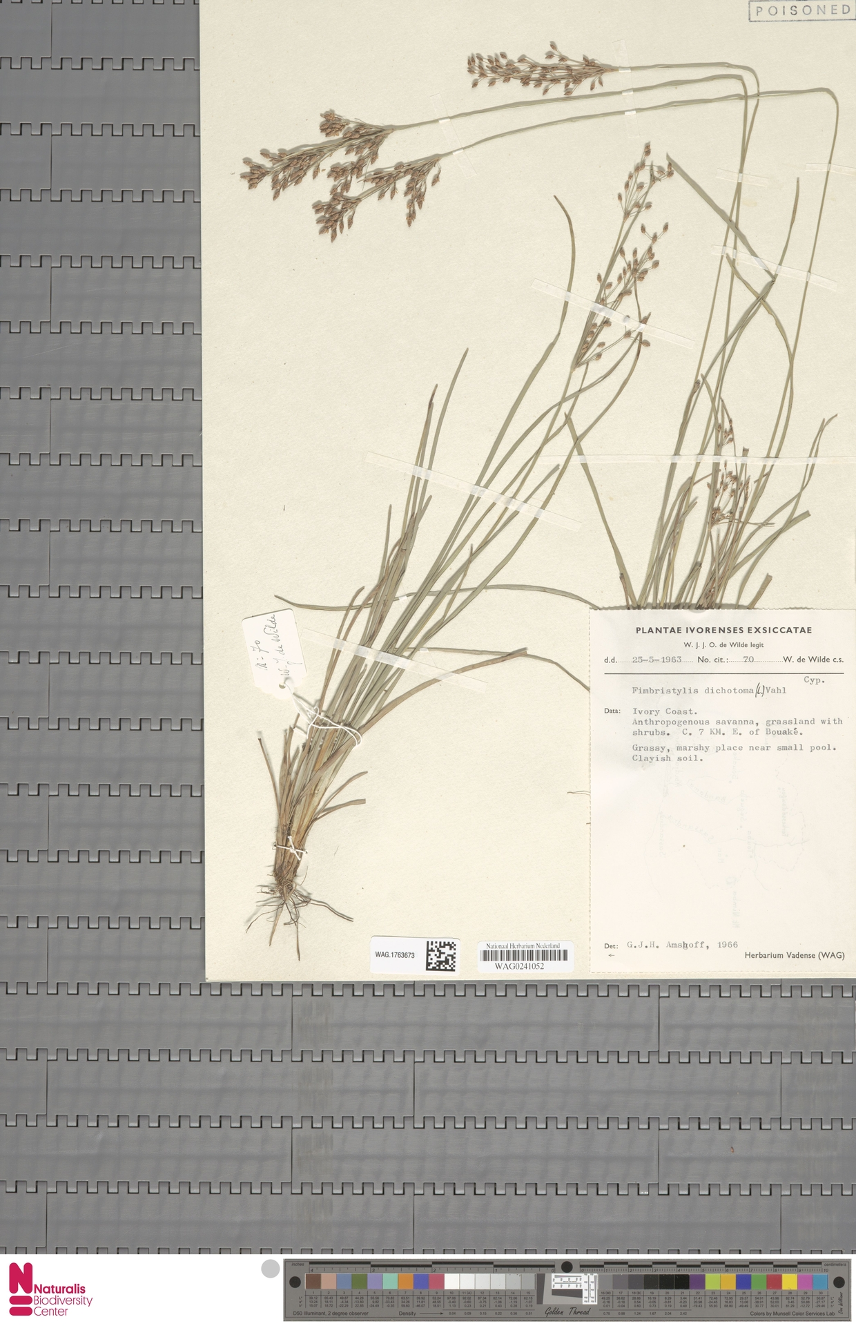 WAG.1763673 | Fimbristylis dichotoma (L.) Vahl