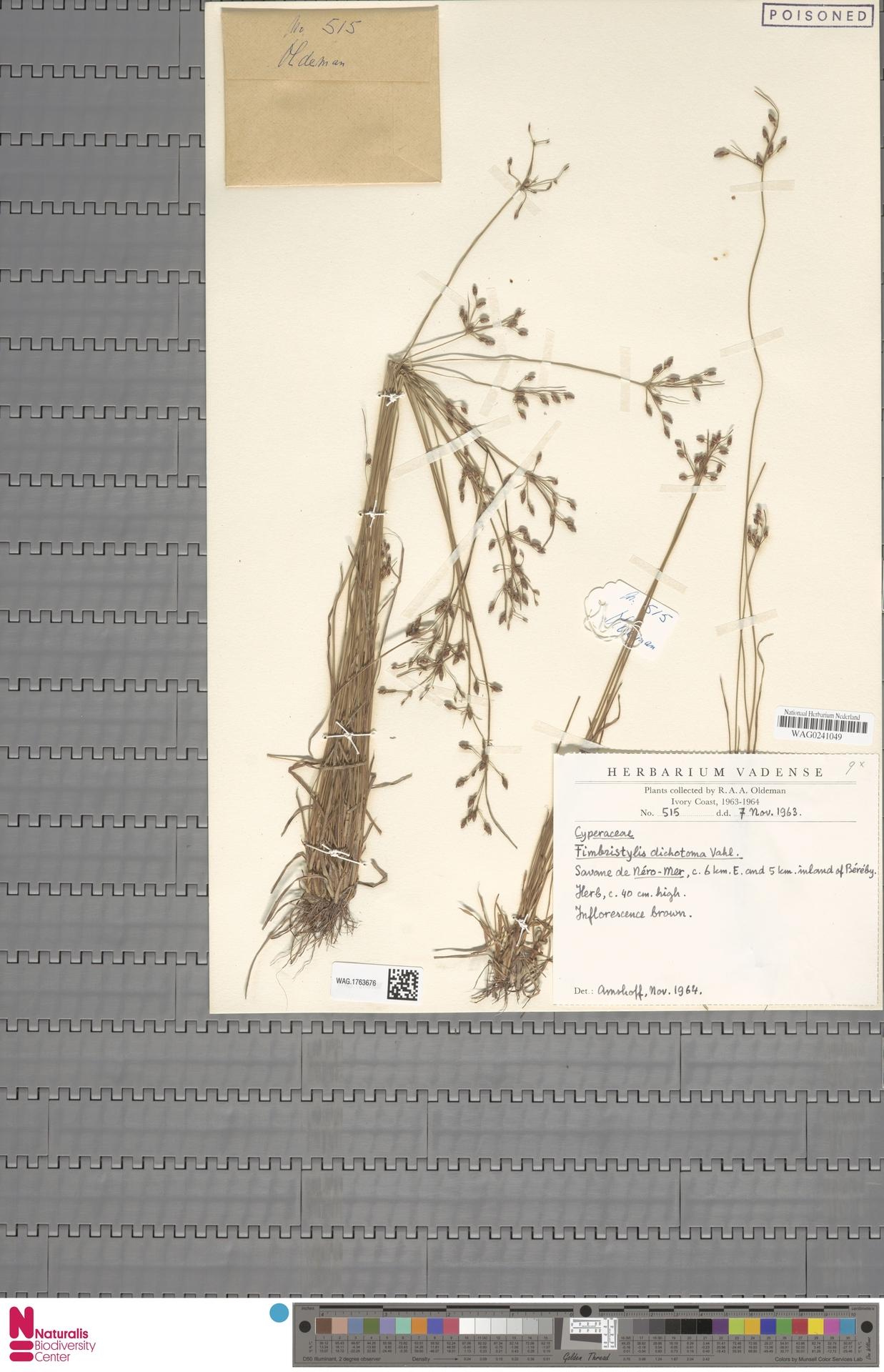 WAG.1763676   Fimbristylis dichotoma (L.) Vahl