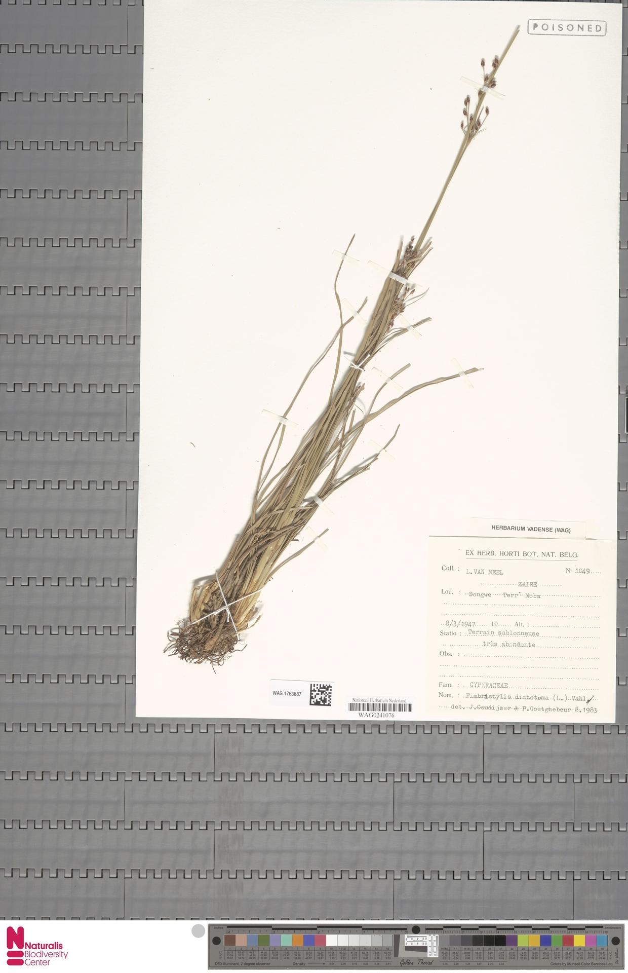 WAG.1763687 | Fimbristylis dichotoma (L.) Vahl