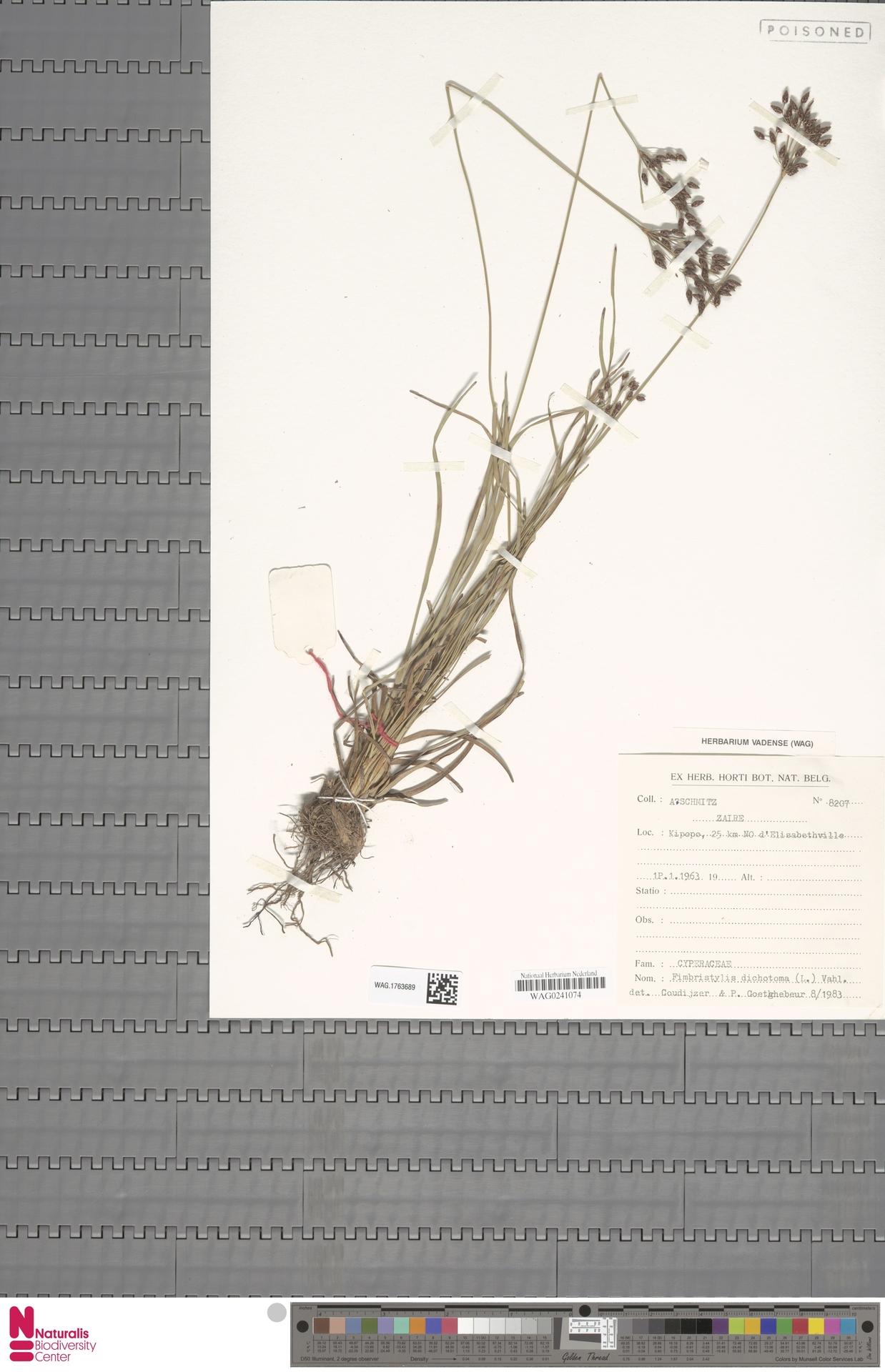 WAG.1763689   Fimbristylis dichotoma (L.) Vahl