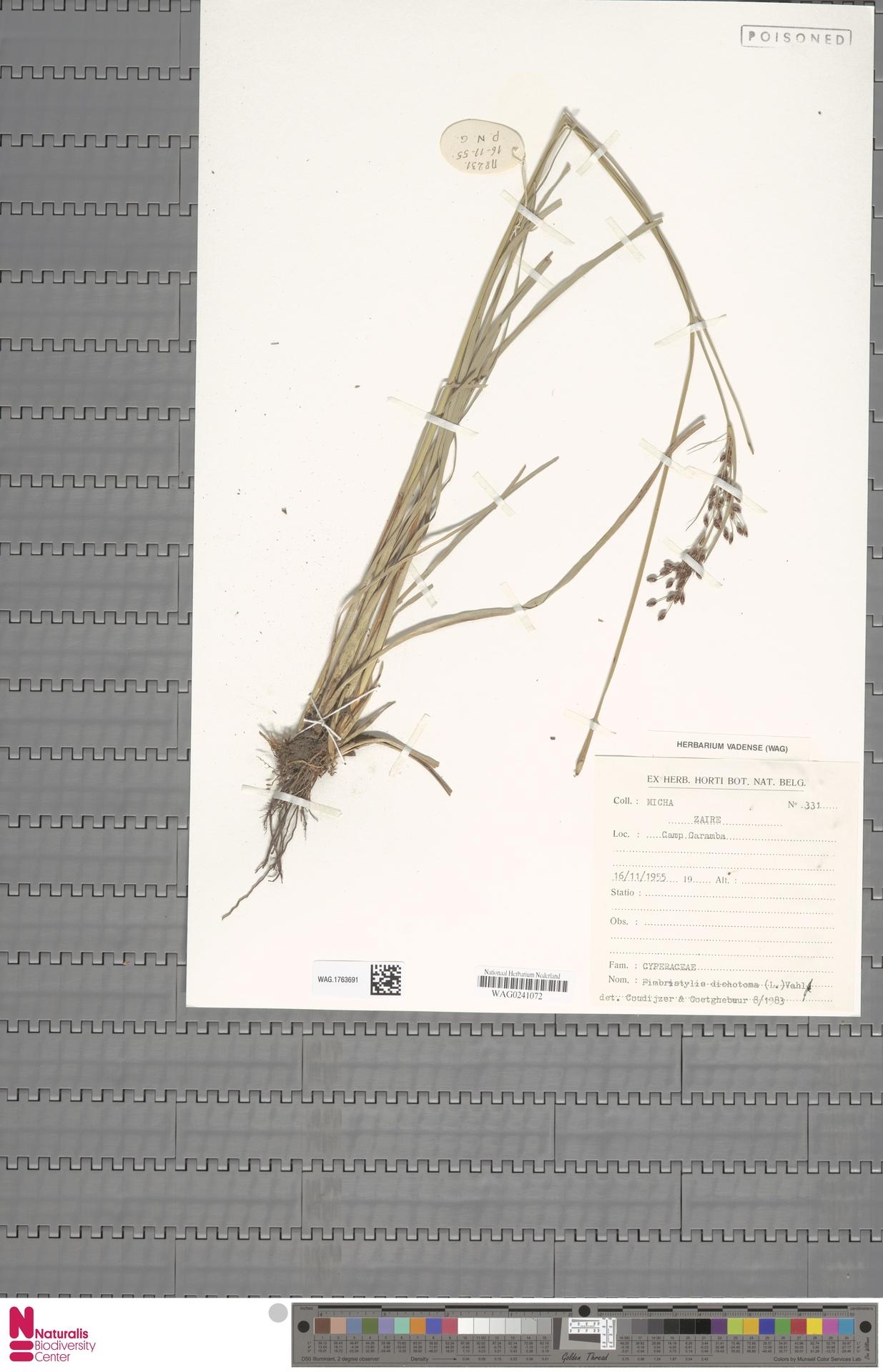 WAG.1763691 | Fimbristylis dichotoma (L.) Vahl