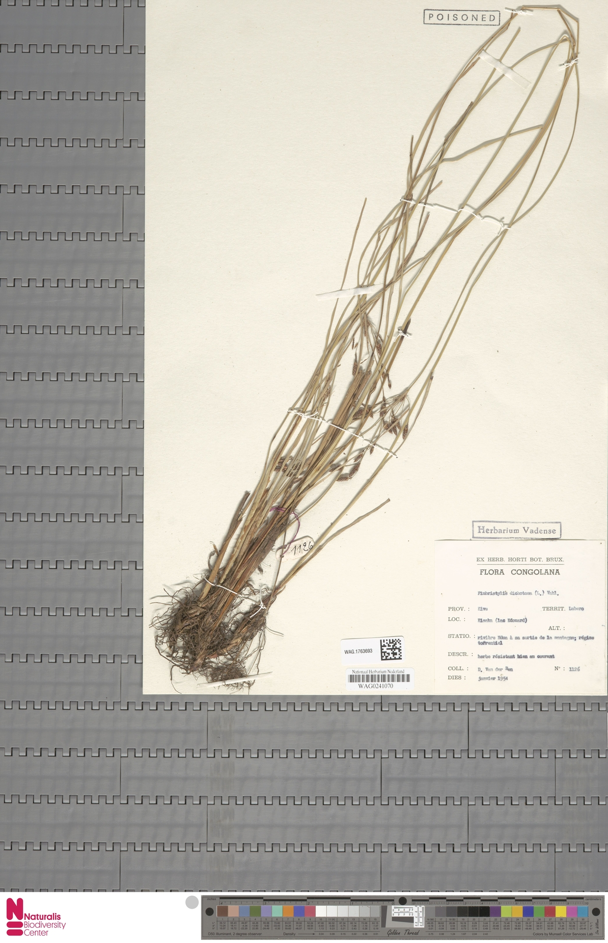WAG.1763693   Fimbristylis dichotoma (L.) Vahl