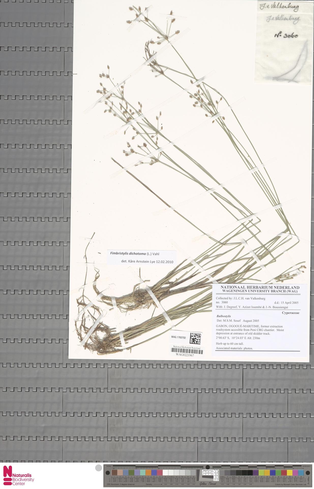 WAG.1763702 | Fimbristylis dichotoma (L.) Vahl