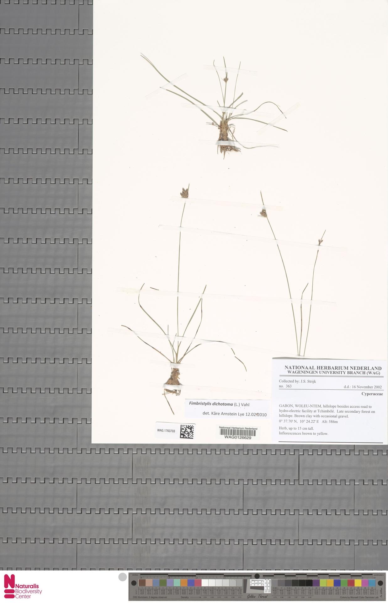 WAG.1763703 | Fimbristylis dichotoma (L.) Vahl
