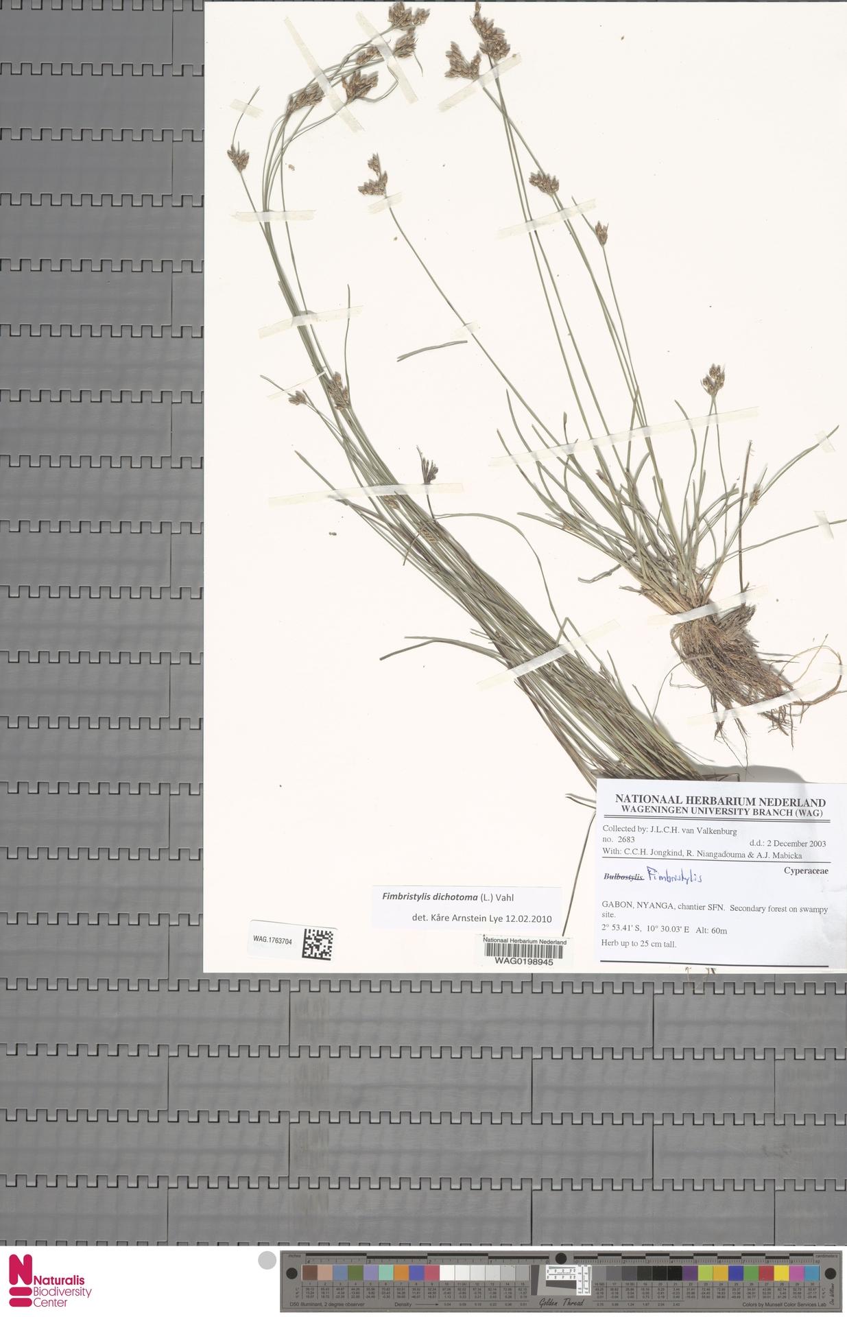 WAG.1763704   Fimbristylis dichotoma (L.) Vahl