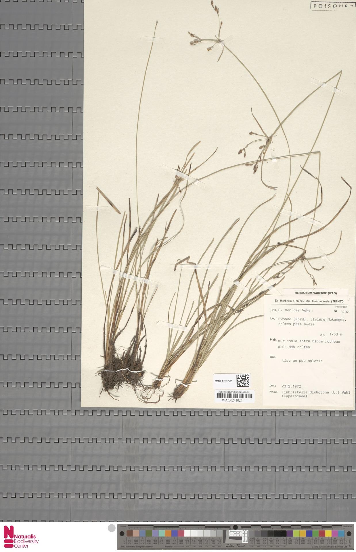 WAG.1763722   Fimbristylis dichotoma (L.) Vahl