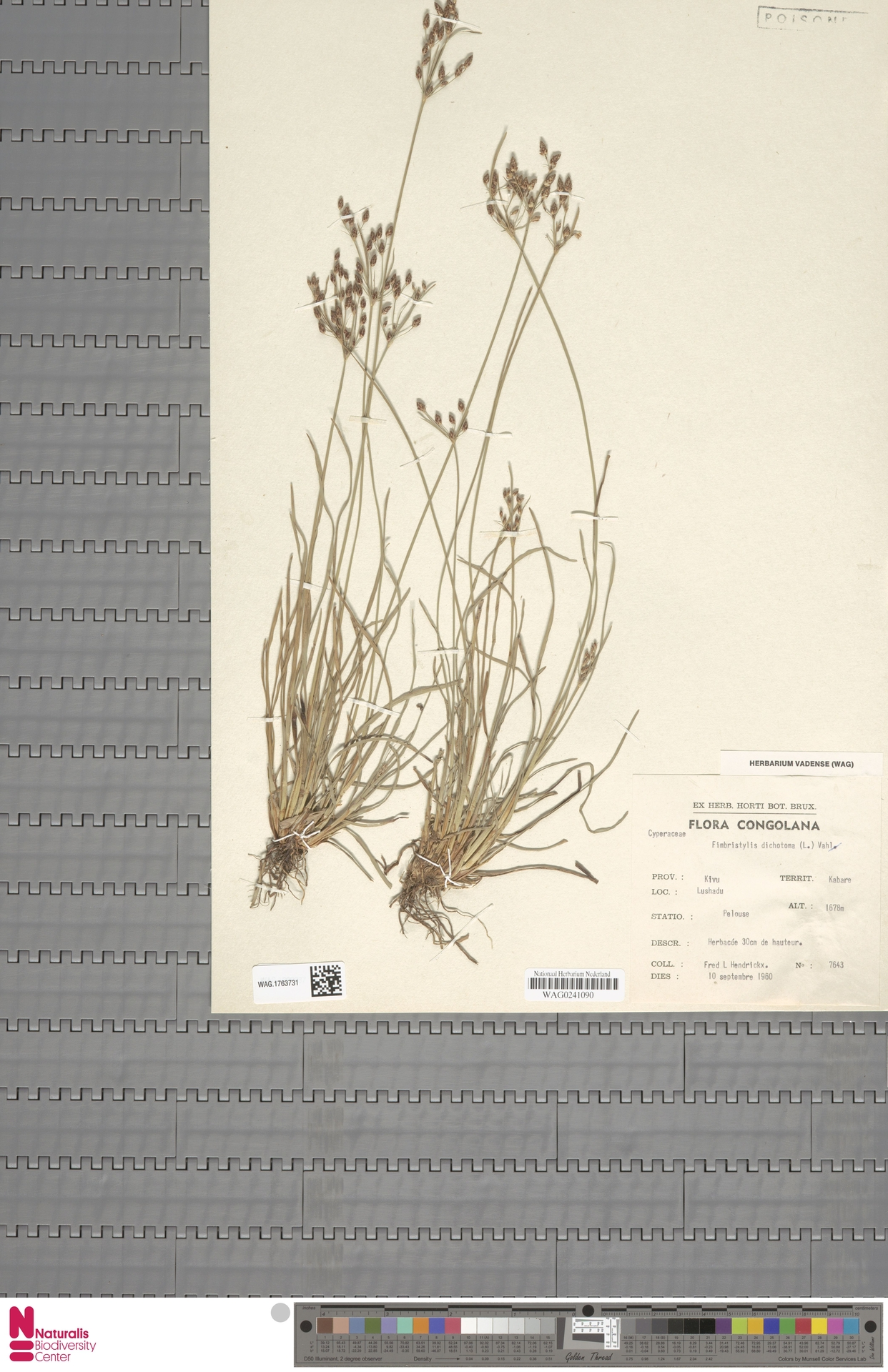 WAG.1763731 | Fimbristylis dichotoma (L.) Vahl