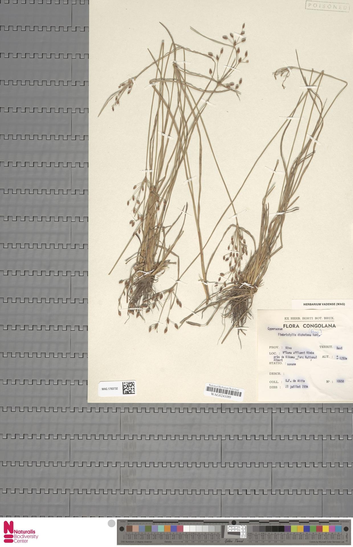 WAG.1763732   Fimbristylis dichotoma (L.) Vahl