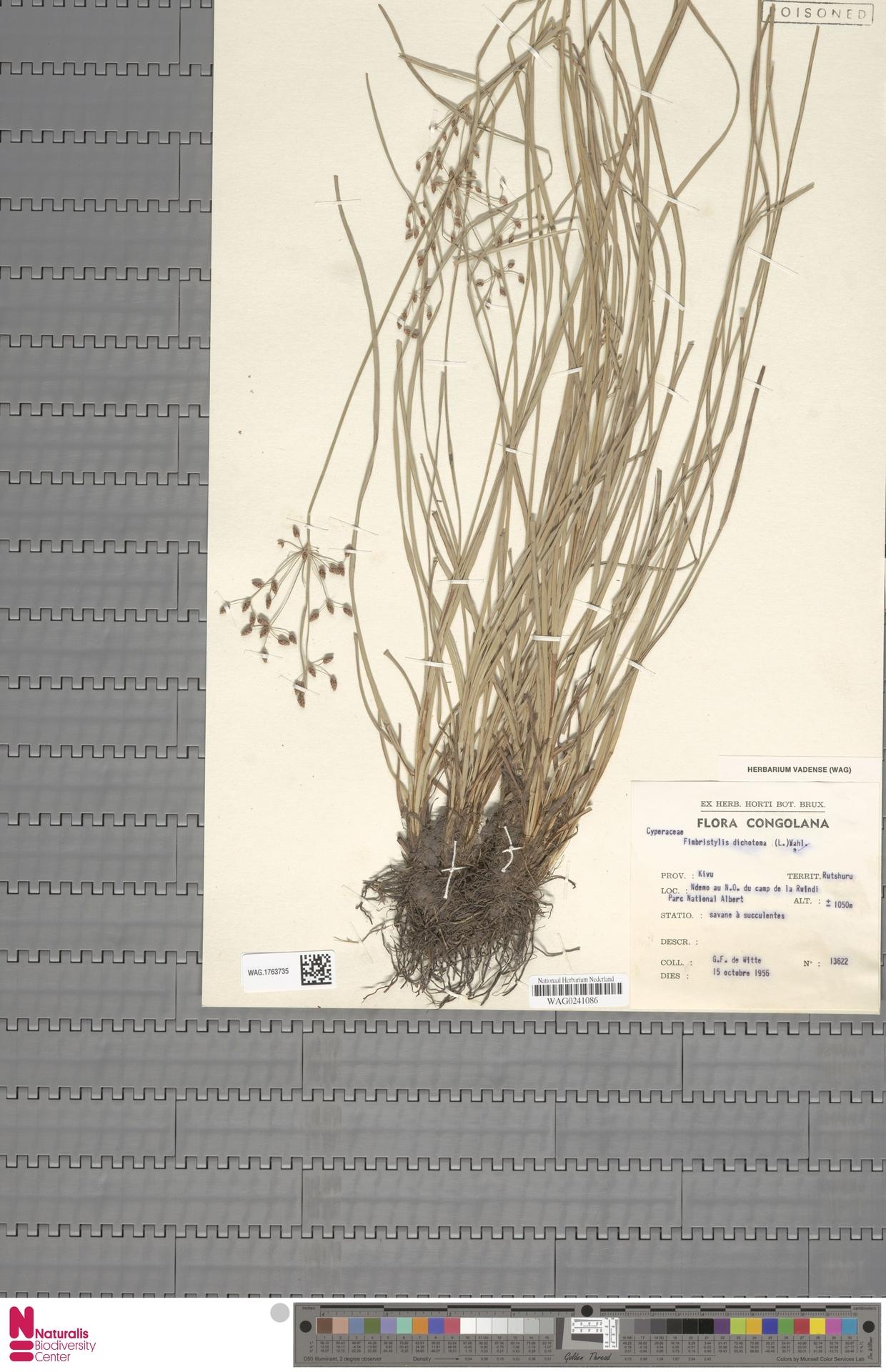 WAG.1763735 | Fimbristylis dichotoma (L.) Vahl