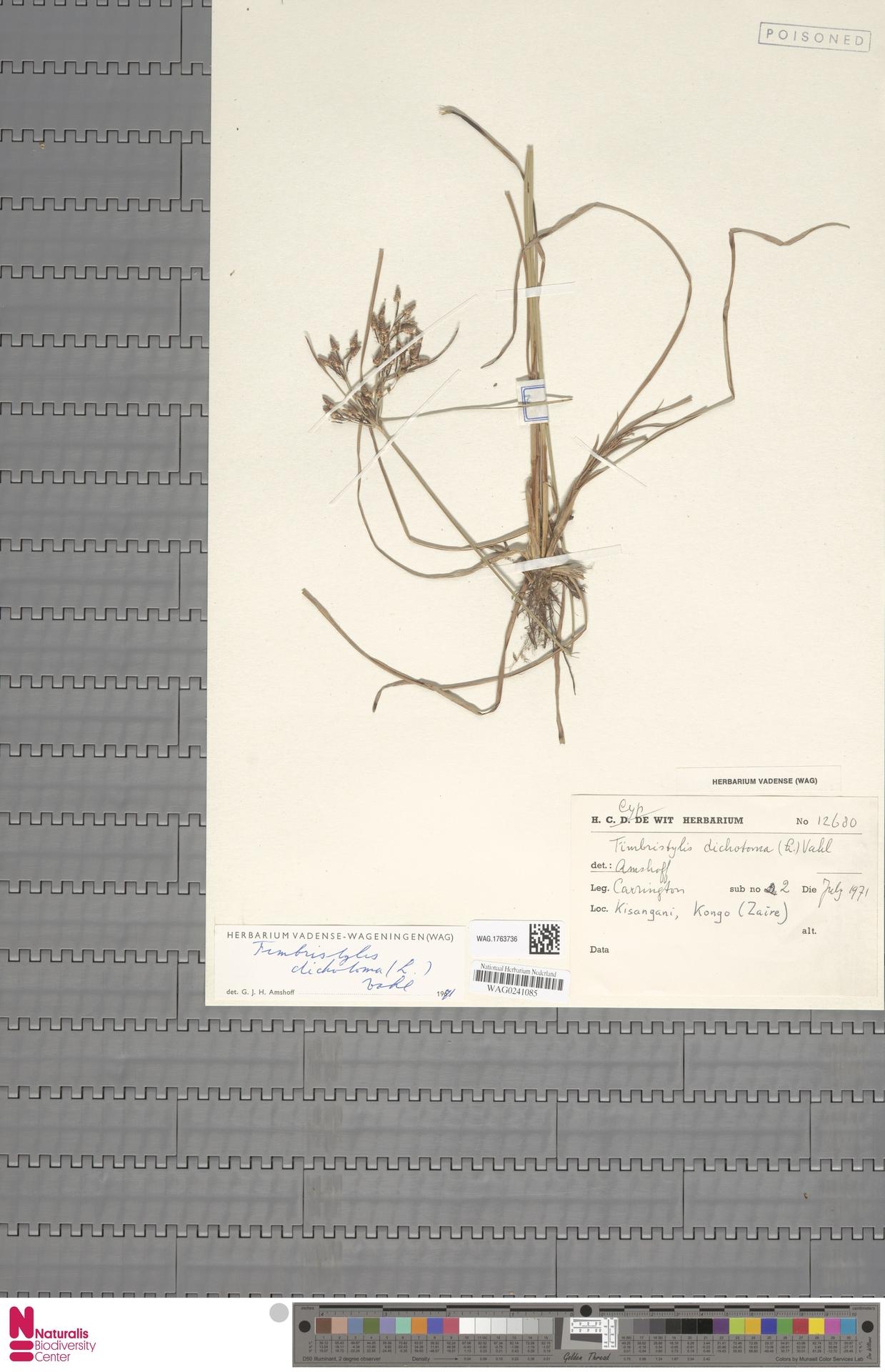 WAG.1763736   Fimbristylis dichotoma (L.) Vahl